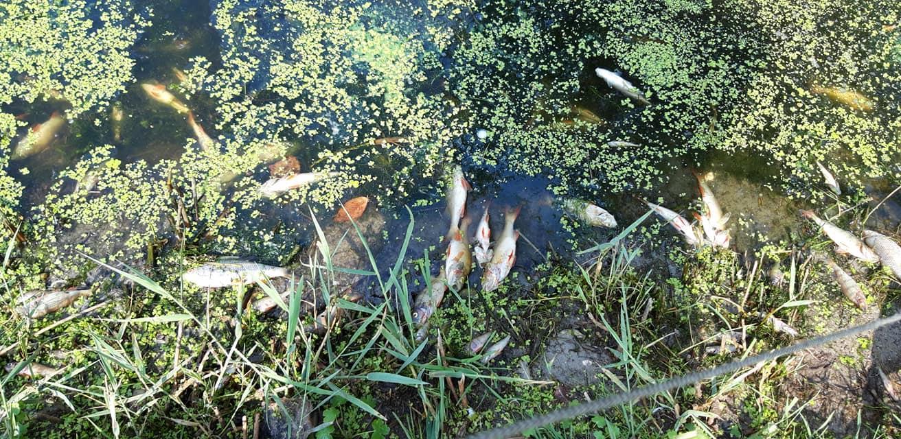 Honderden dode vissen in de sloten in de Noordkop. 'Aanhoudende hitte en vuil' zorgen voor extreme sterfte [video]