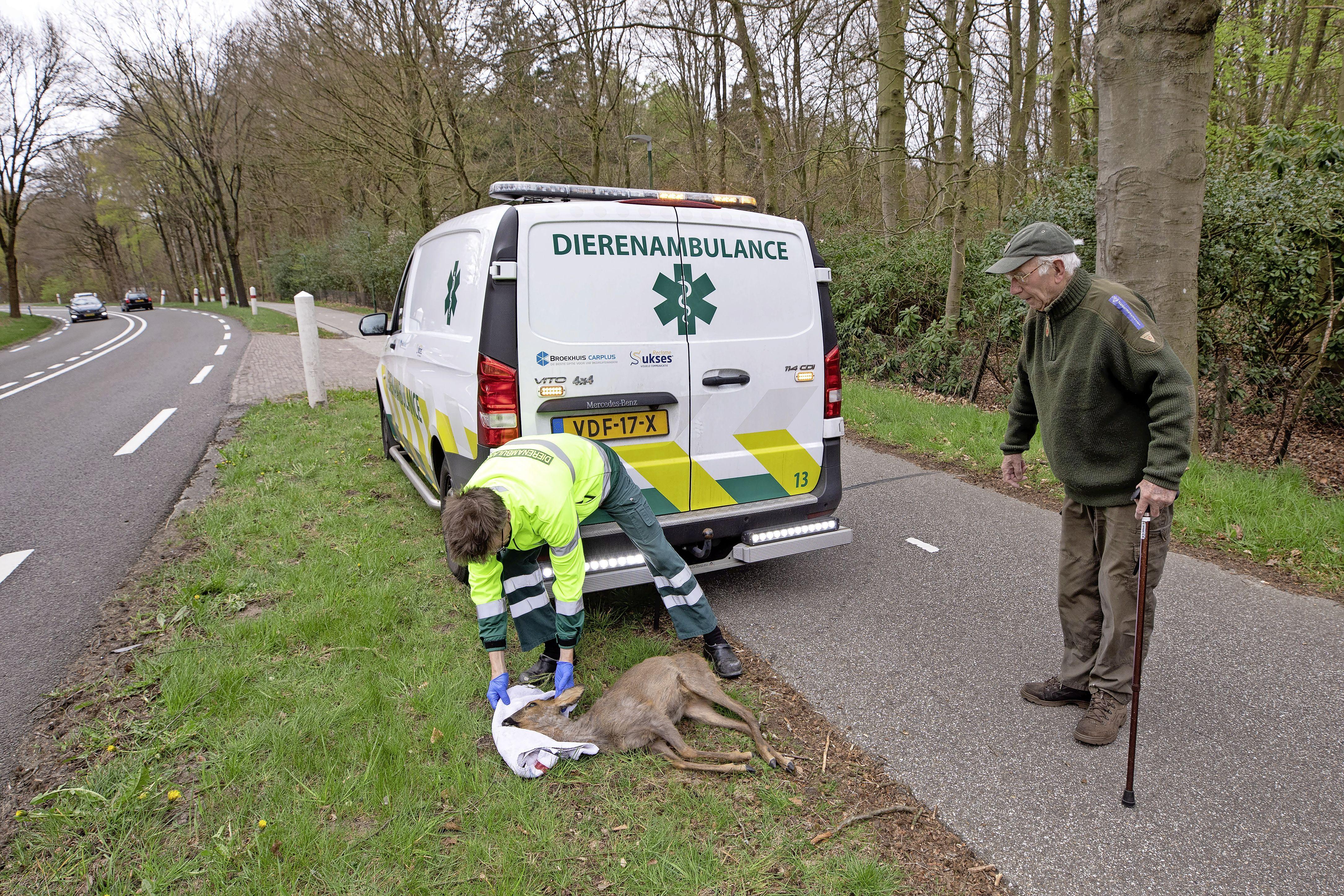 Drukte in de bossen Soest richt slachting aan onder reeën; Jaargemiddelde na vier maanden al bereikt. In een week tijd vijf dieren doodgereden