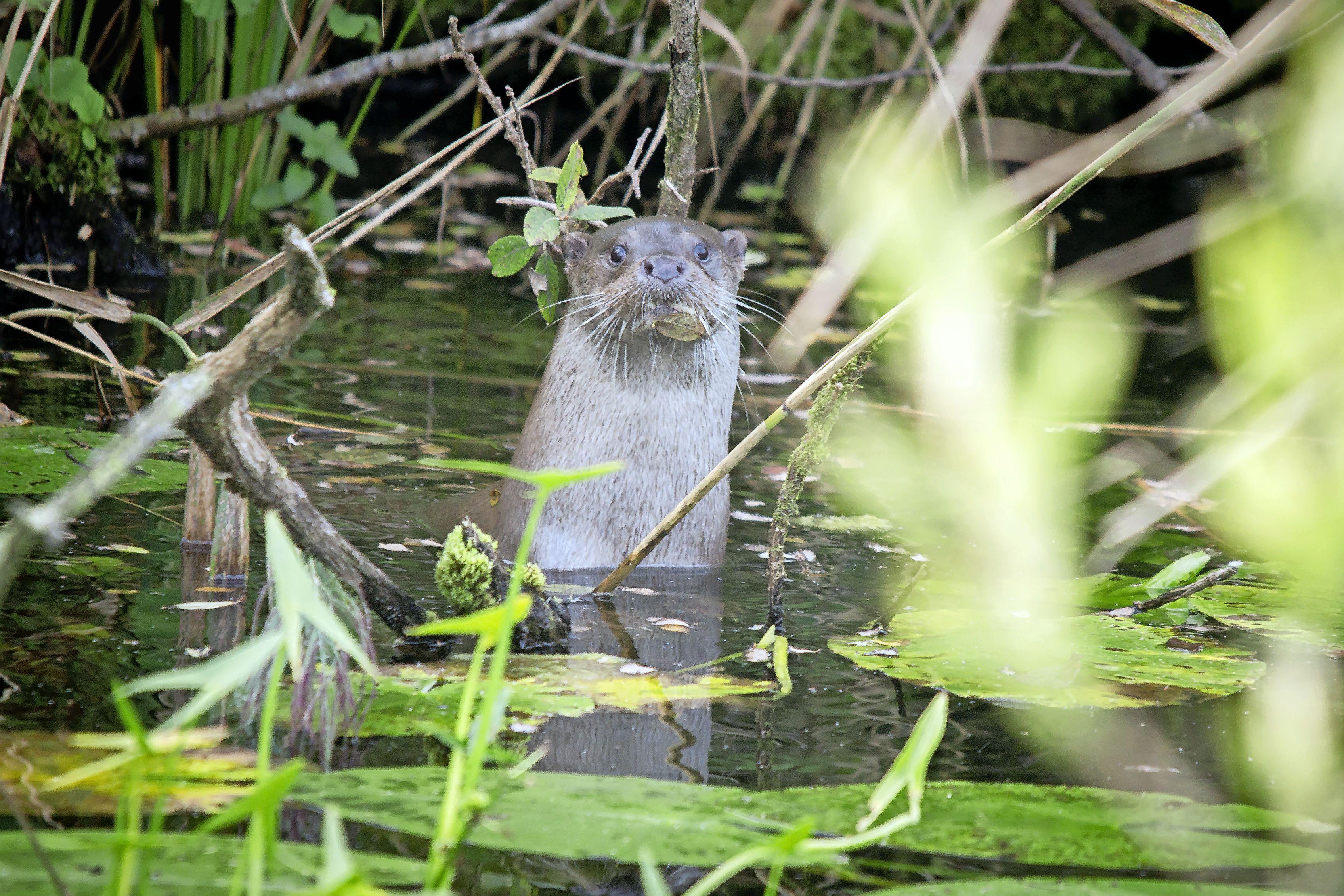 Groot feest in het Naardermeer: voor het eerst sinds mensenheugenis is er een jonge otter geboren!