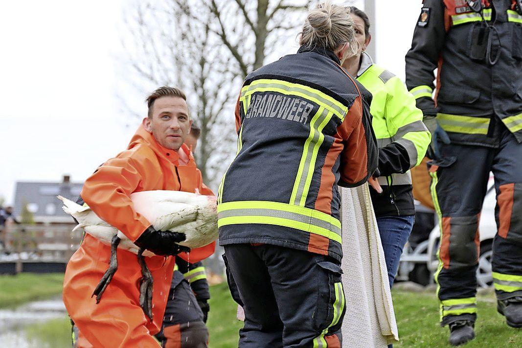 Zwaargewonde zwaan gered uit water Valkenburg, ook nest vernield