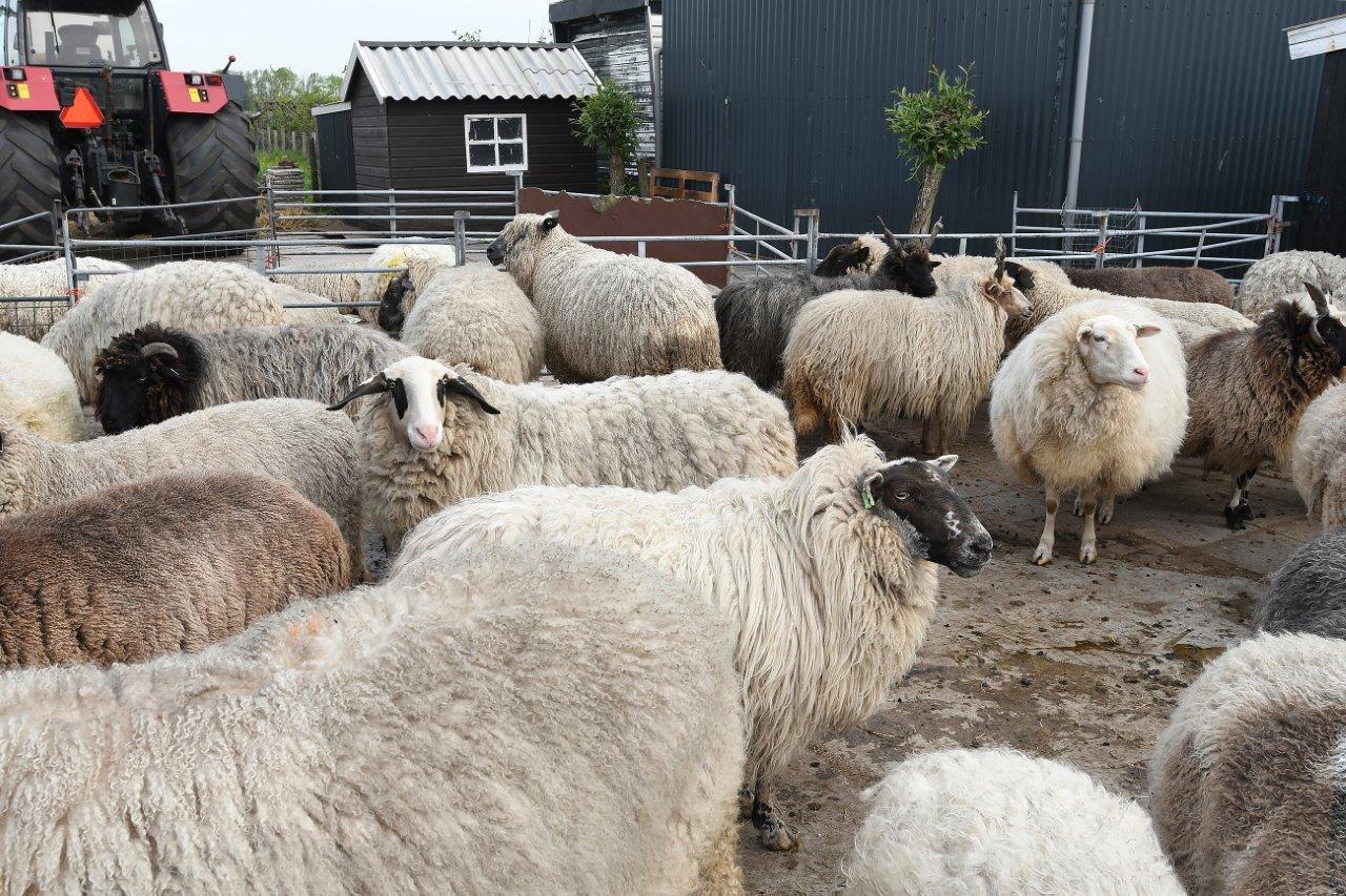 Steeds meer verlammingen bij schapen in Nauerna. Boerin is wanhoop nabij: 'Hij kon alleen nog een beetje drinken en schreeuwen'