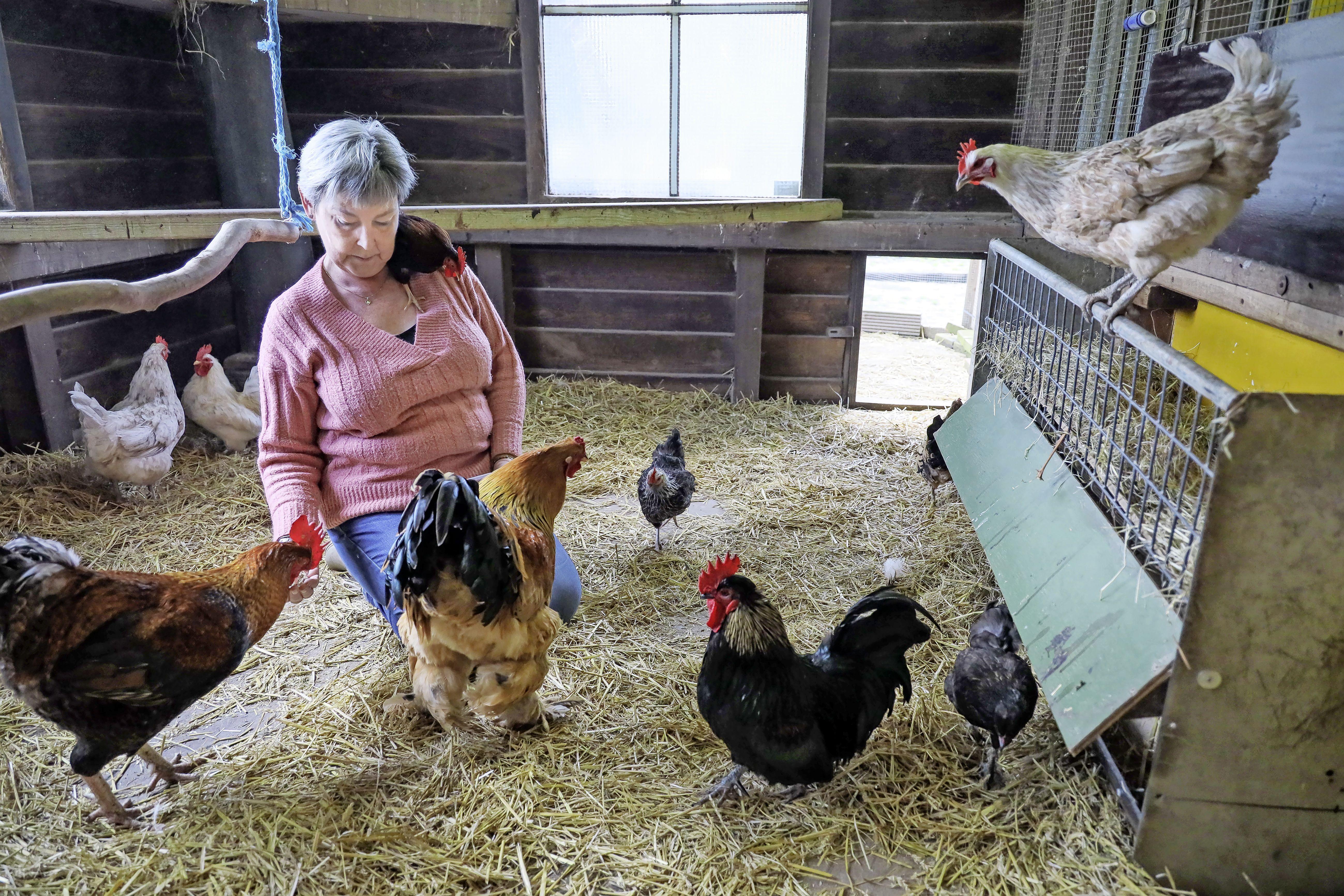 West-Friesland maakt zich op voor vrijwilligersactie NLdoet, bijvoorbeeld bij kinderboerderij 't Langoortje in Medemblik. 'Onze kippen leven nu in een soort kraakpand'