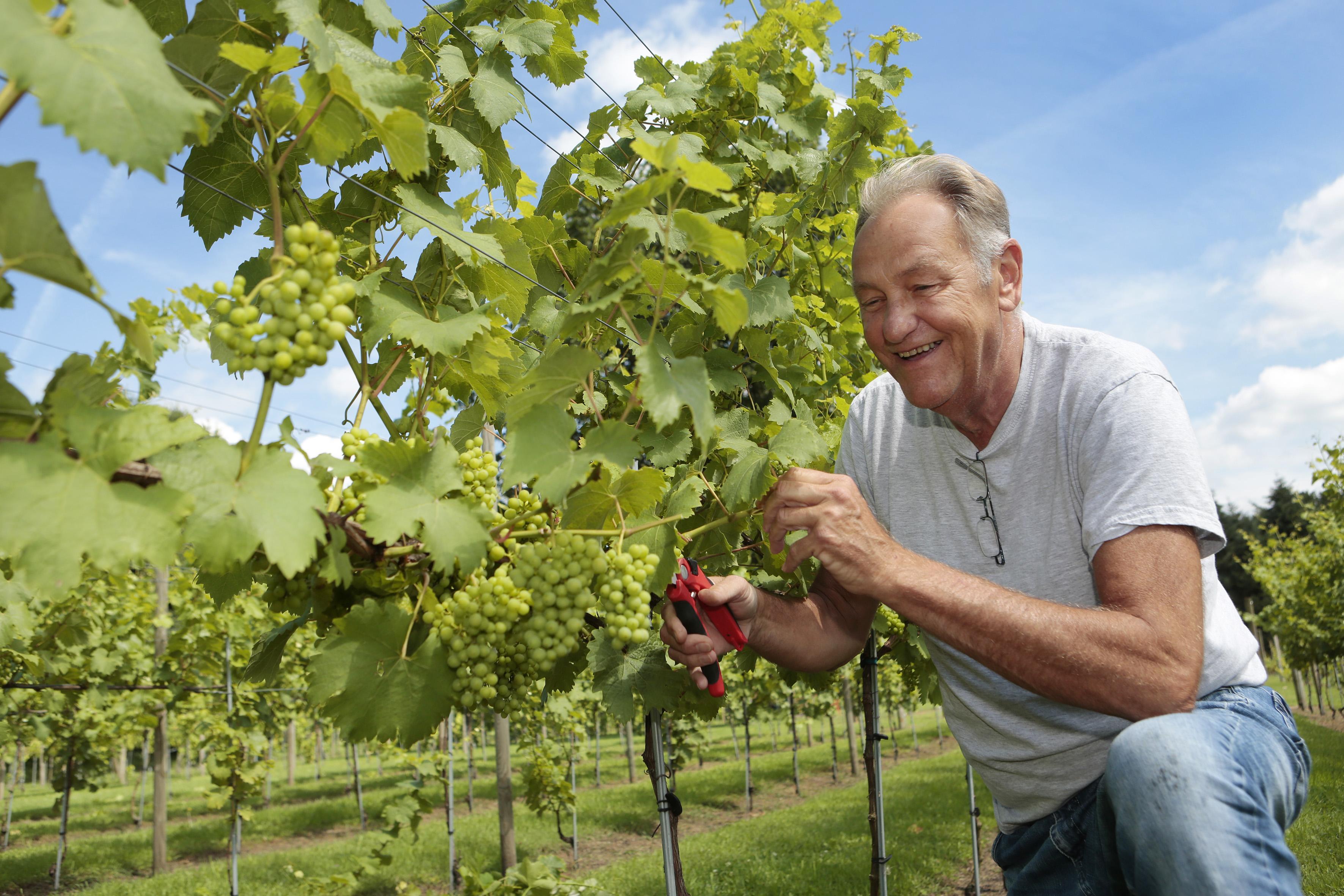 Weinig schade aan druiven door vorst
