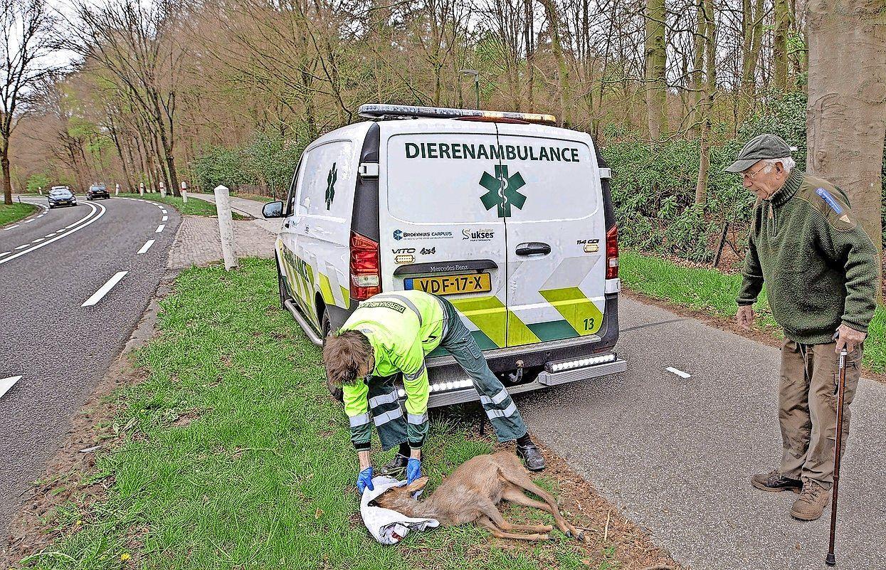 Elk jaar honderden reeën doodgeschoten om verkeersveiligheid, maar aantal aanrijdingen neemt niet af; Dierenorganisaties dagen Utrecht voor rechter om afschot