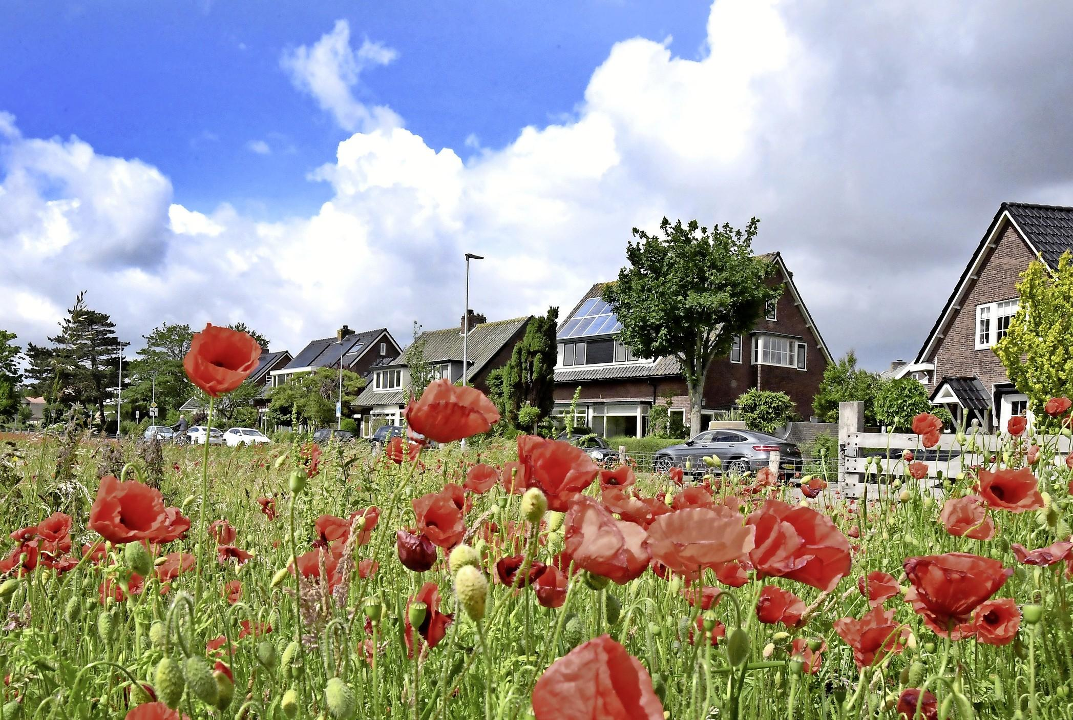 Het is een feest om over de Tuintjesweg in Huisduinen te rijden. Bloeiende klaprozen zorgen daar voor een rood tapijt in het weiland