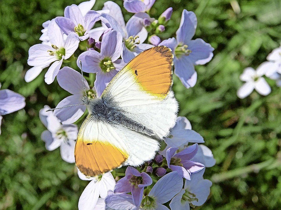 GNR zamelt geld in voor de aanleg van bloemakkers op de Gooise heide: 'Variatie in flora als een soort buffet voor insecten, bijen en vlinders'