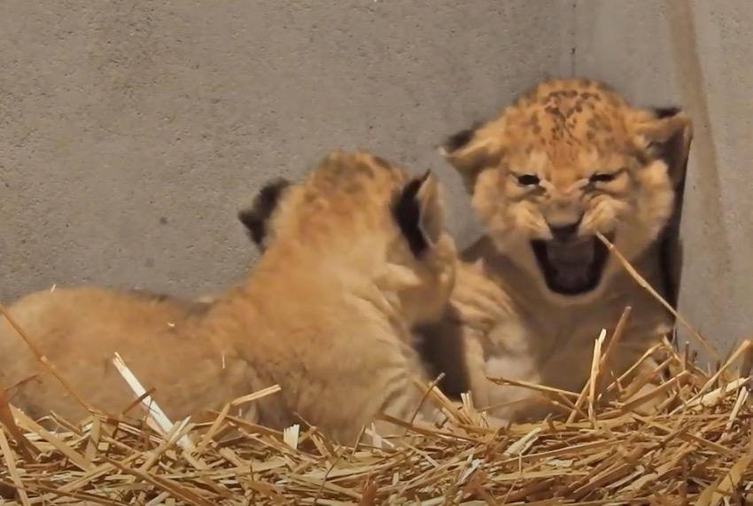 Leeuwtjes geboren in DierenPark Amersfoort [video]