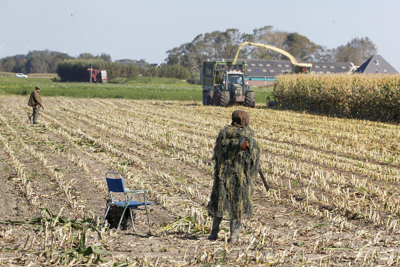Als de mais wordt geoogst, staan de jagers al klaar om de vossen op de korrel te nemen