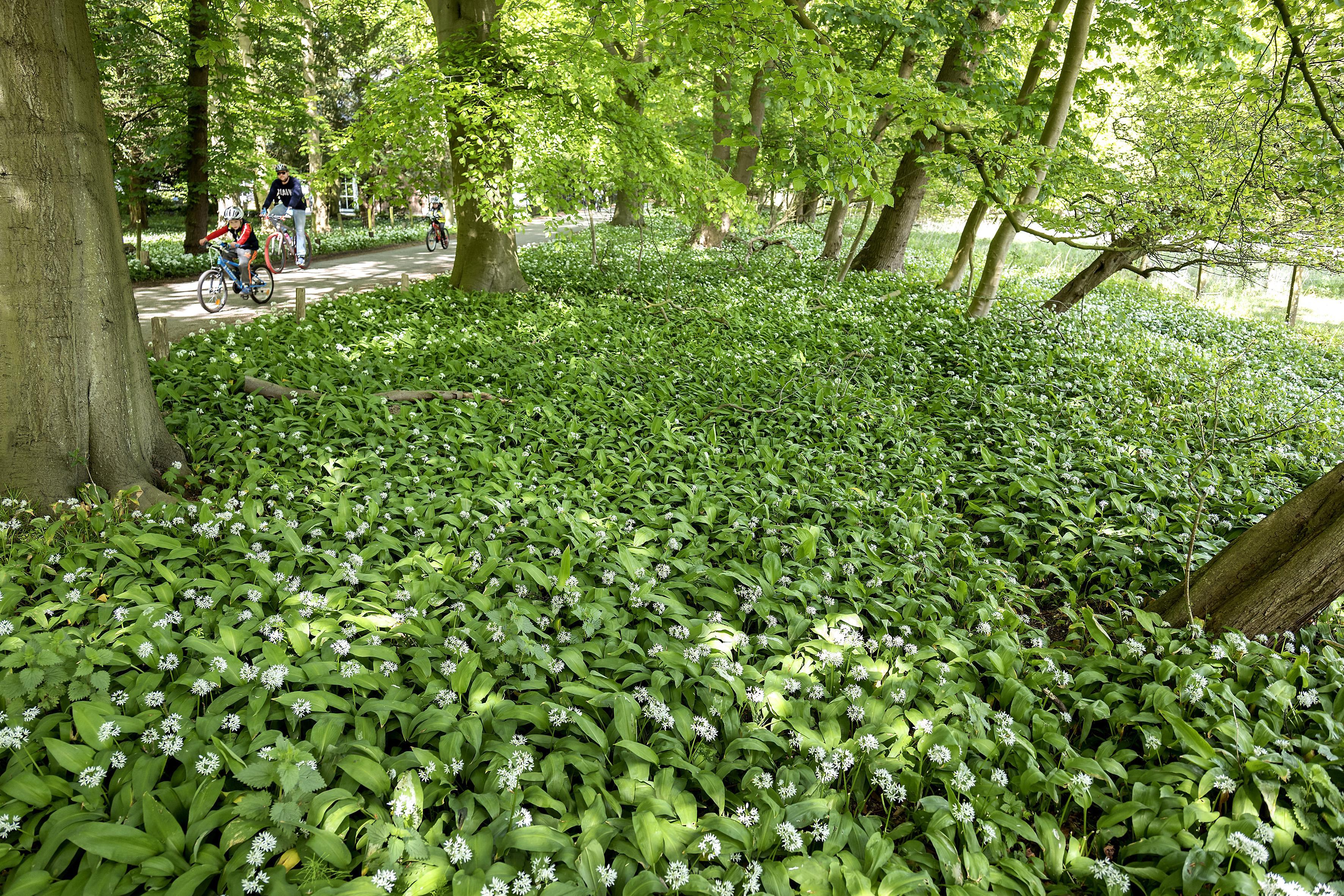 Bloeiend daslook in bos Santpoort-Noord: plukken of niet plukken?