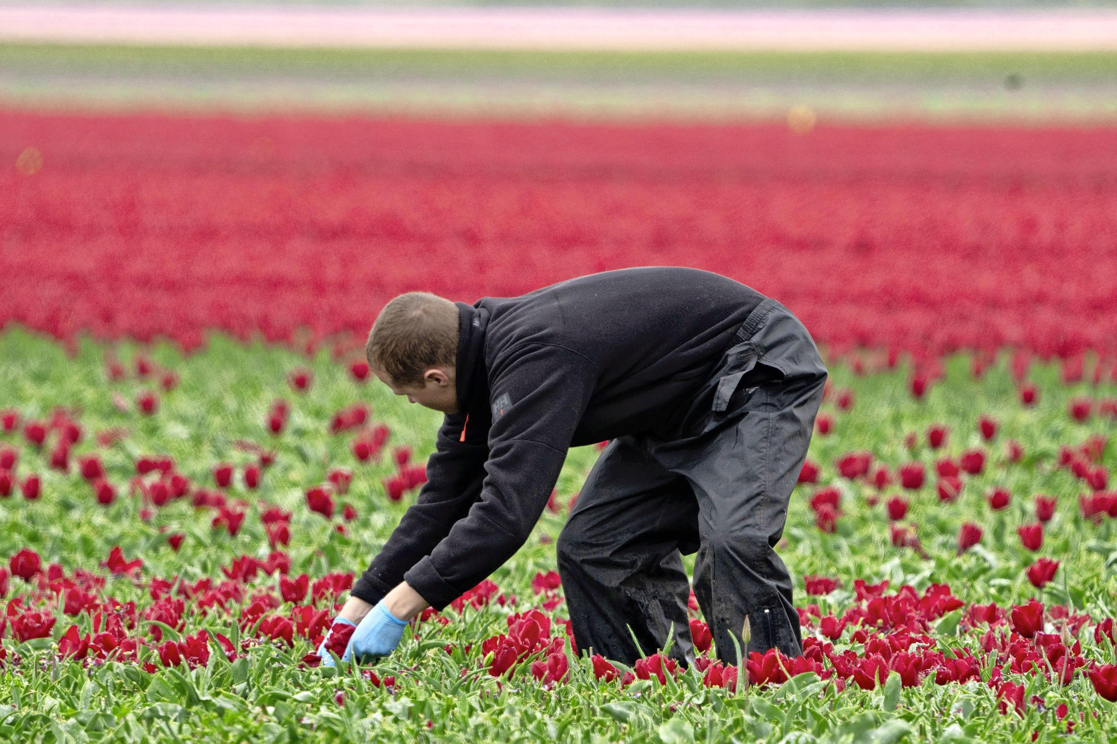 Bollenvelden verliezen hun kleur. Telers 'koppen' de tulpen