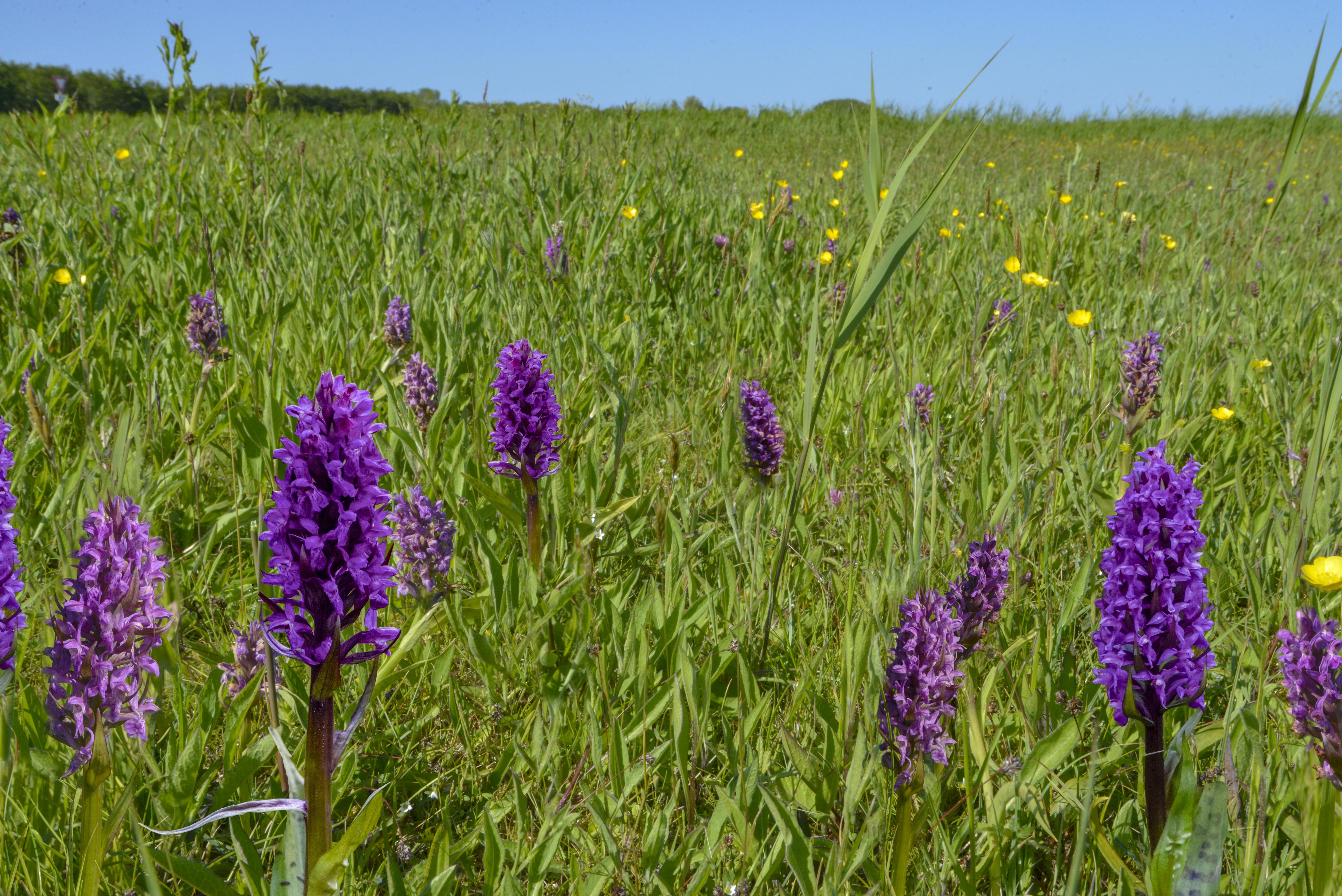 Texelse orchideeënpracht voor het eerst in anderhalvemeterafstand-excursies te zien