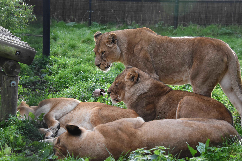 Er kan geen leeuw meer bij, Anna Paulowna zit tjokvol, Stichting Leeuw kan geen dieren transporteren