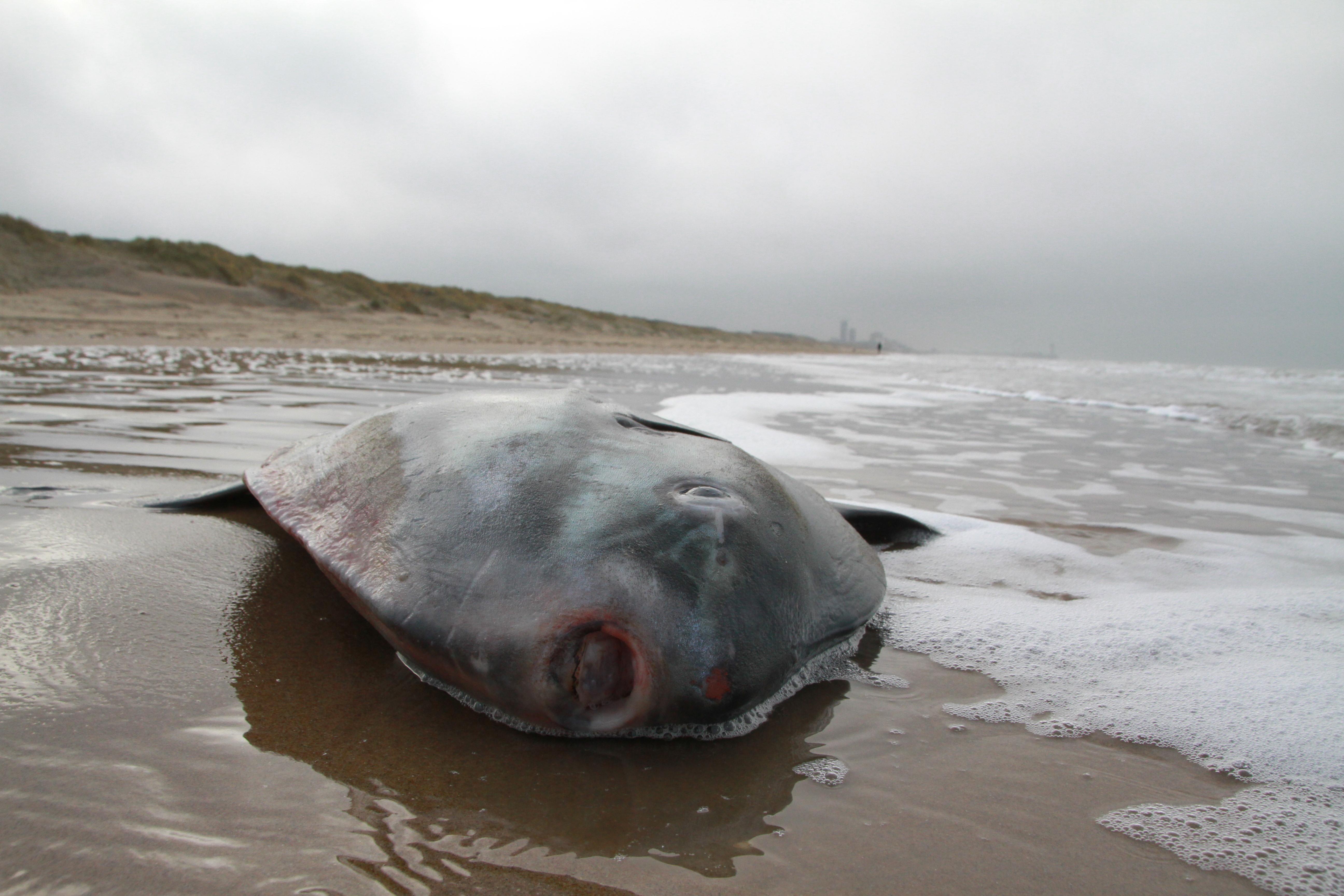 Maanvis aangespoeld op strand Wassenaar