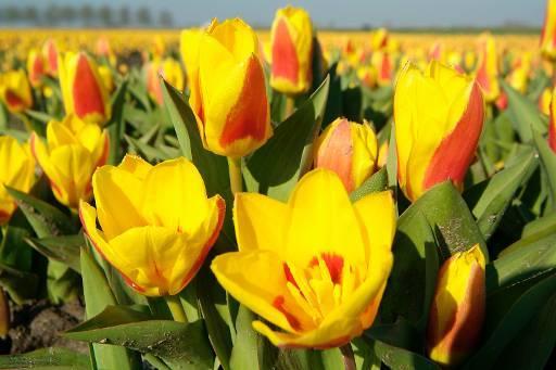 Bram uit Anna Paulowna is Nederlands jeugdkampioen tulpen keuren