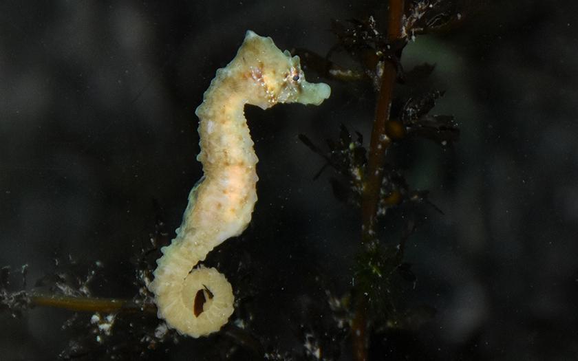 'Kleinduimpje' heeft heel veel geluk gehad. Onderkoeld zeepaardje mag bijkomen in verwarmd aquarium bij Ecomare