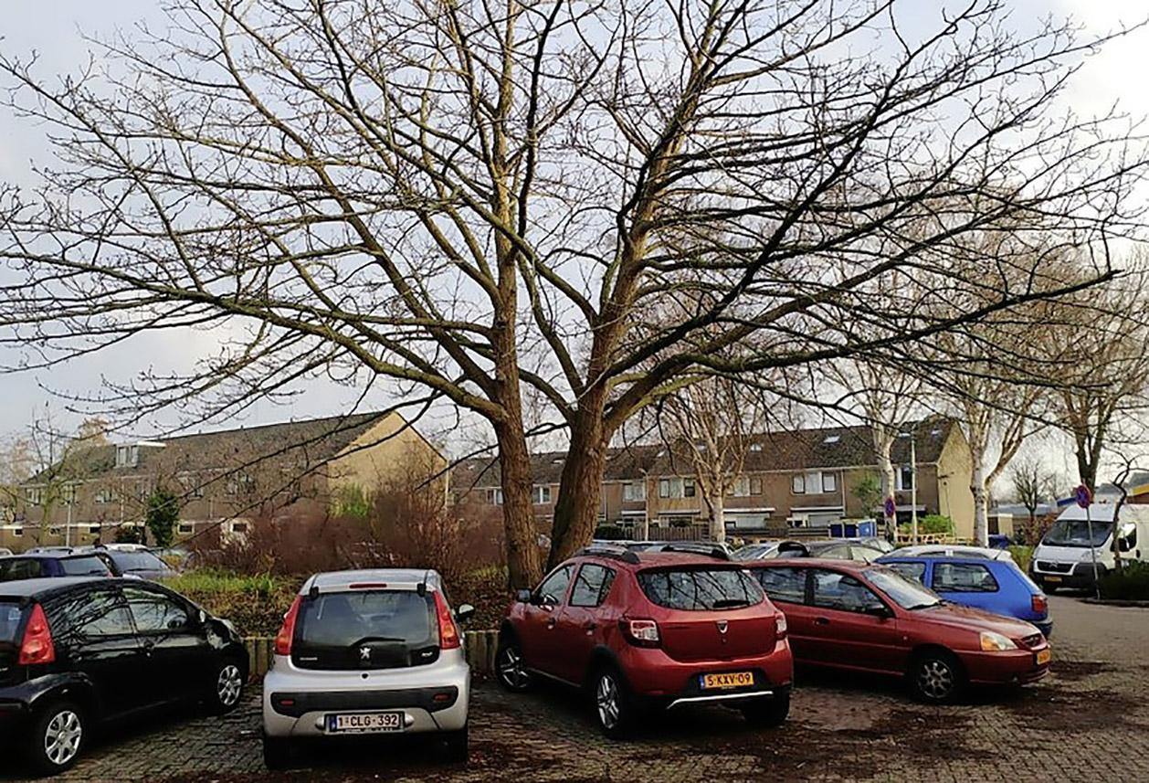 Zaanstad wacht met bomenkap na grote druk Raad van State en bewoners Kalf