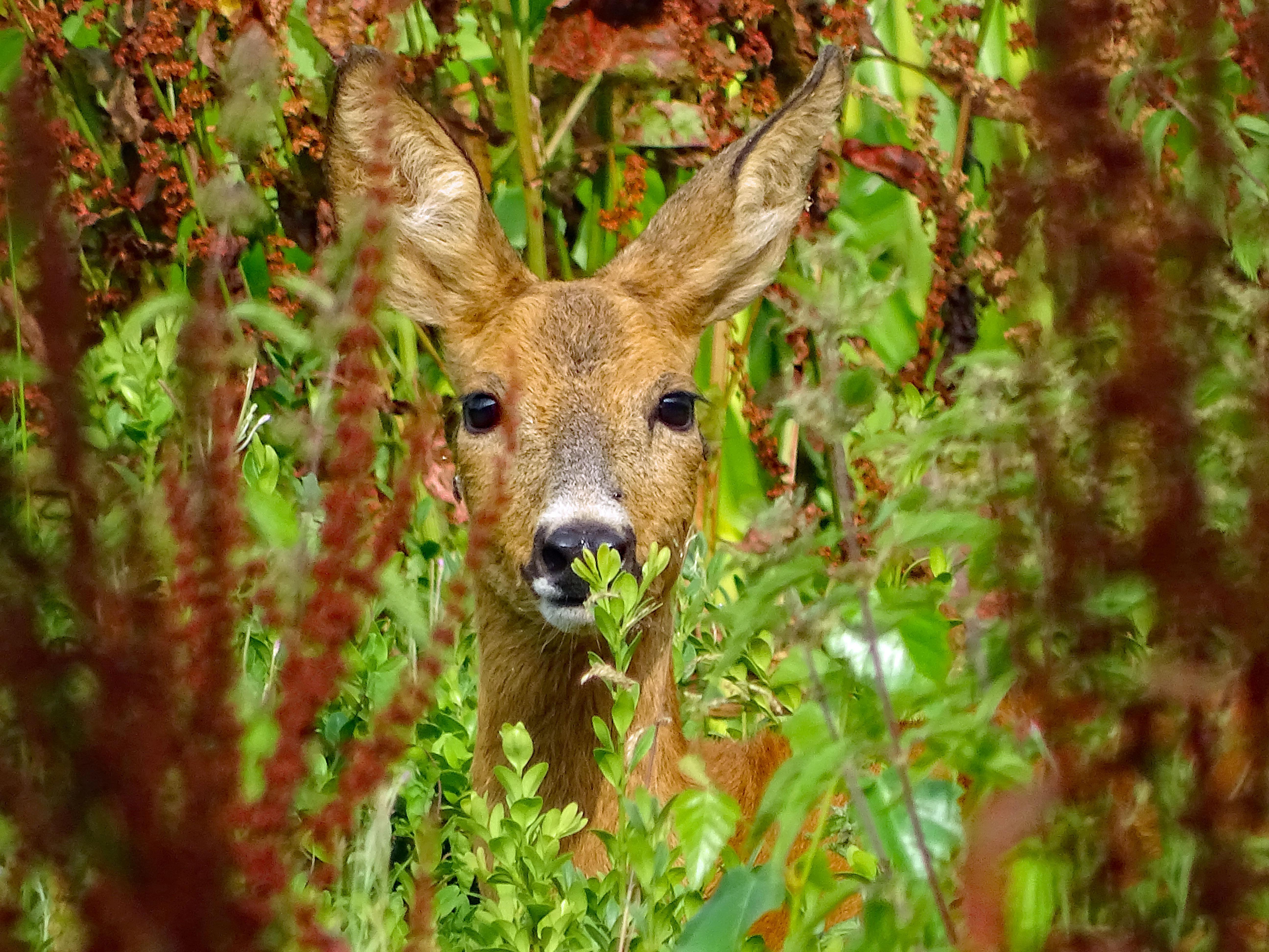 Avondwandeling 'reeën kijken in het Corversbos': kan dat wel na de grote coronadrukte in natuurgebieden? Natuurmonumenten zegt ja