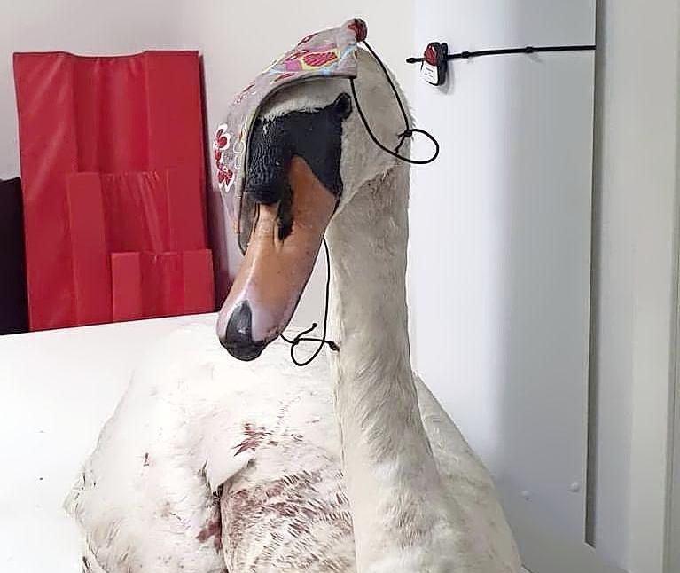 Gewonde zwaan blijkt te zijn beschoten met een luchtbuks. Bericht van dierenkliniek uit Bovenkarspel, waar hij door Wildopvang de Bonte Piet naartoe werd gebracht, leidt tot grote ontsteltenis