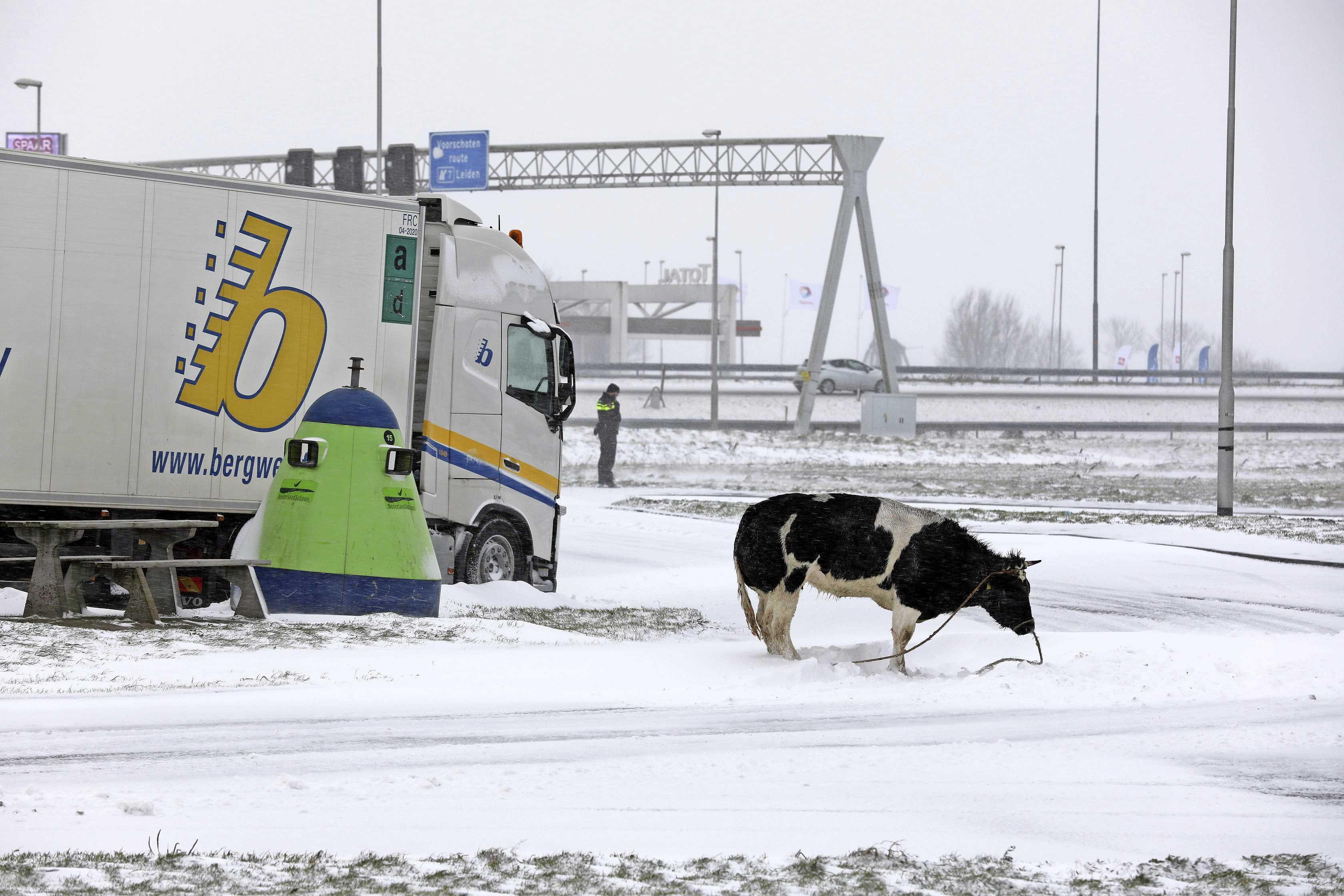 Dierenrechtenactivisten willen onderzoek naar afschieten koe