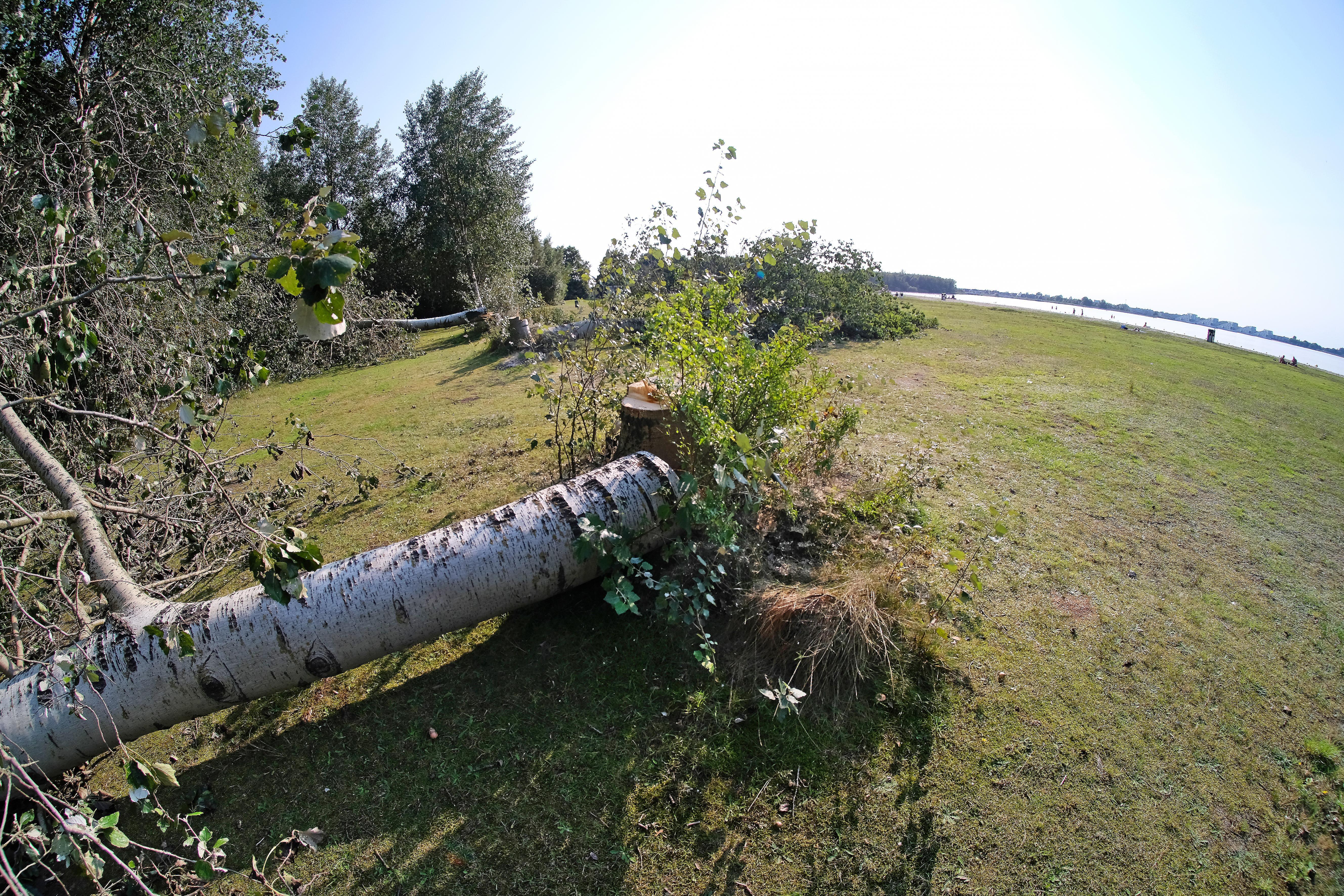 Motorzaagvandalen vellen vijf grote bomen langs strandje Blaricum. Ook houten paaltjes op parkeerterrein zijn koppie kleiner: Gemeente doet aangifte