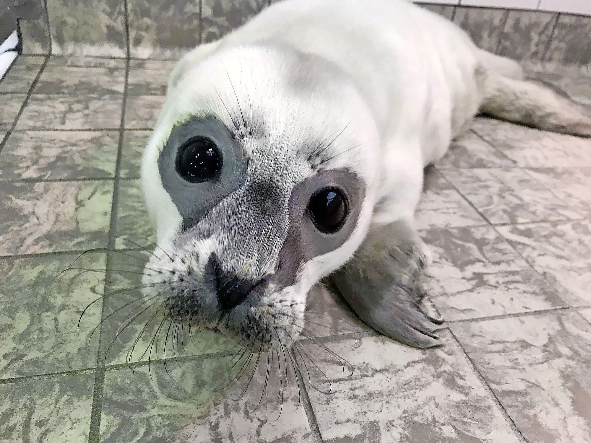 Prematuur zeehondje plotseling overleden in opvang Ecomare