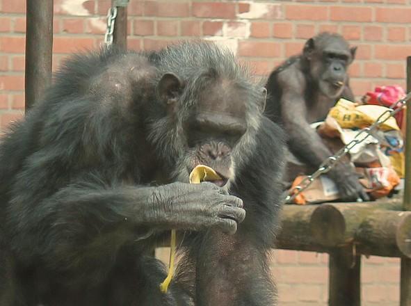 Dierenorganisaties doen aangifte om doodschieten chimpansees Dierenpark Amersfoort