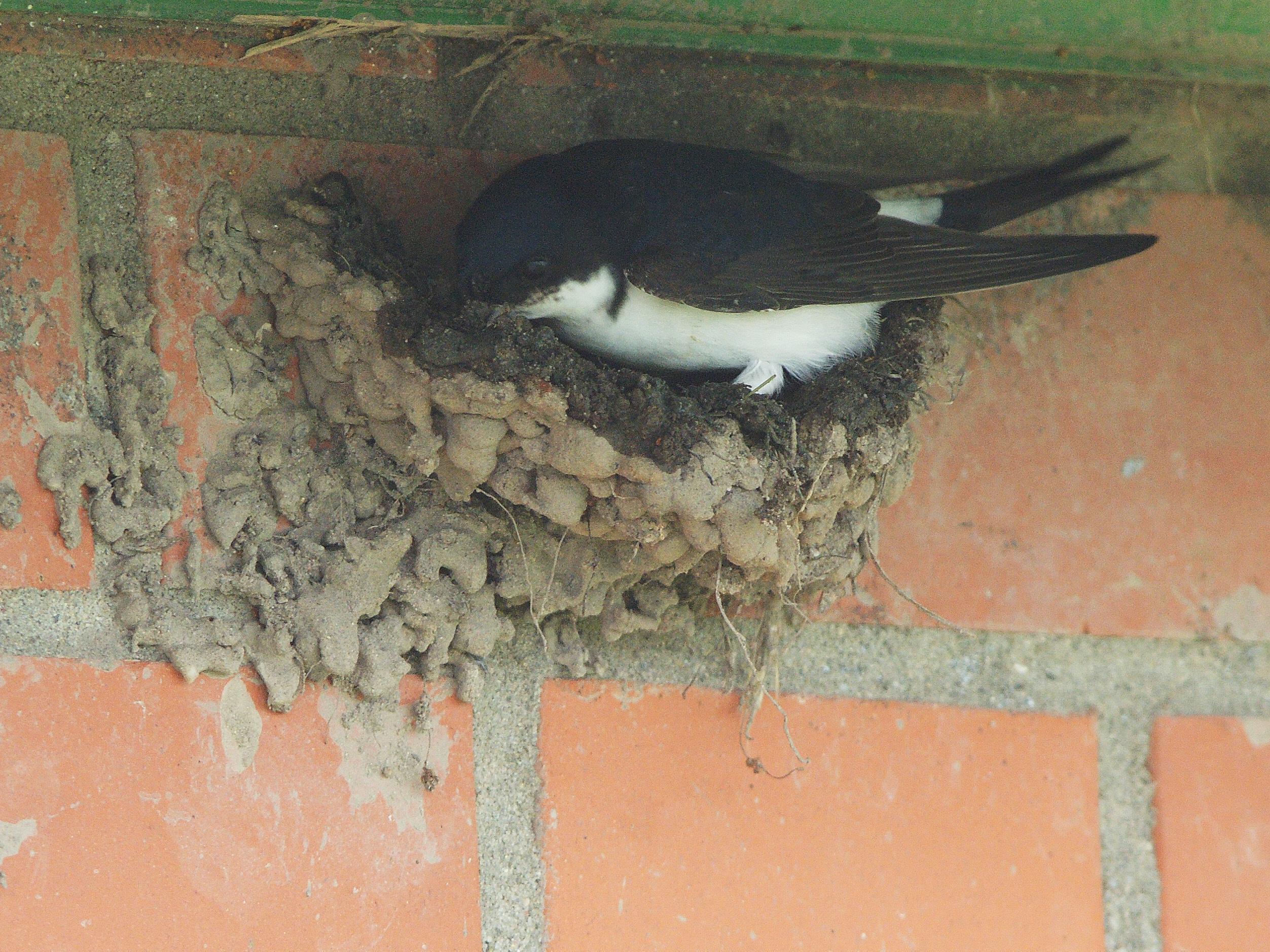 Huiszwaluw nestelt zeer goed in Burgerbrug