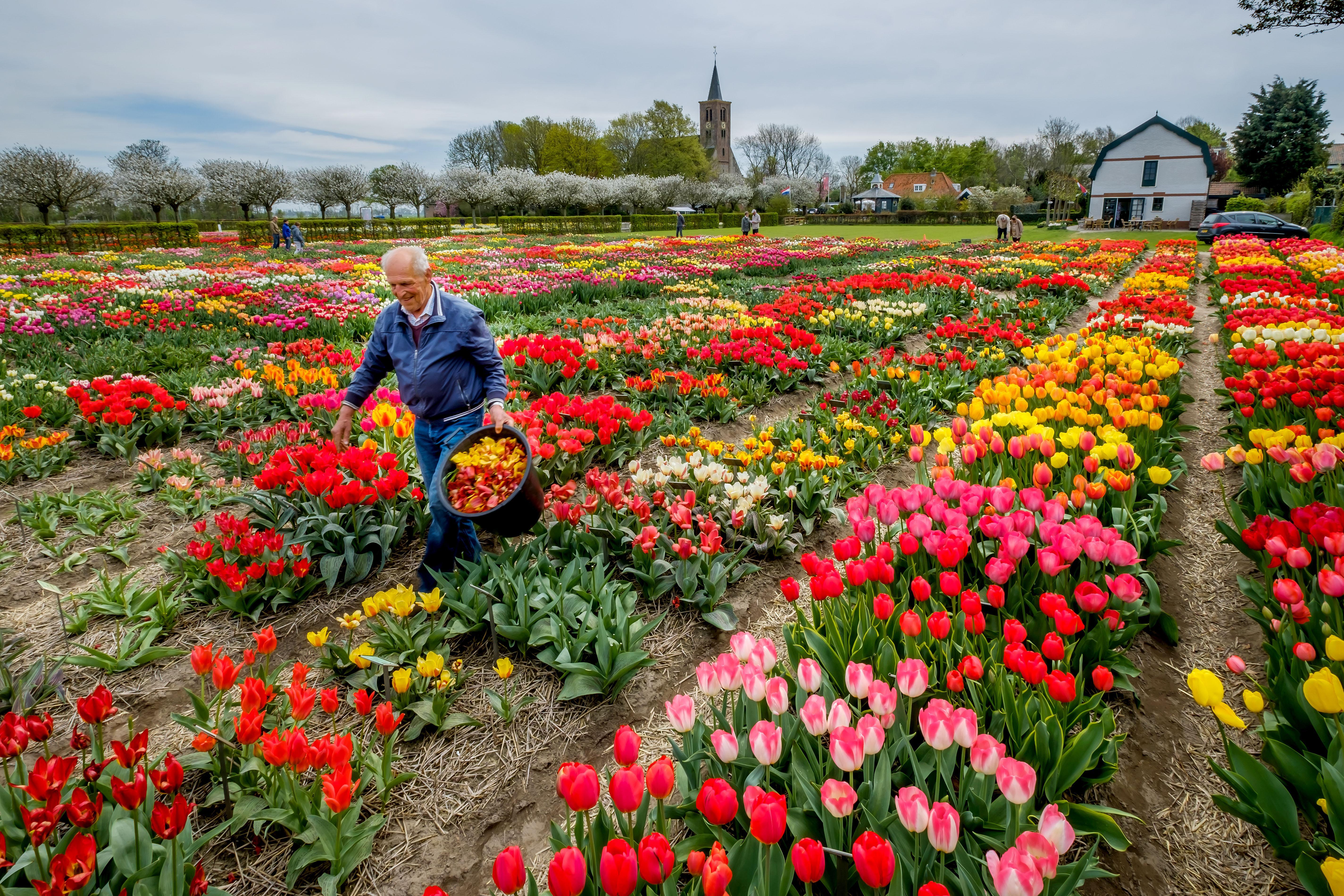 Hortus Bulborum Limmen moet laatste hoop laten varen: bloementuin blijft dicht