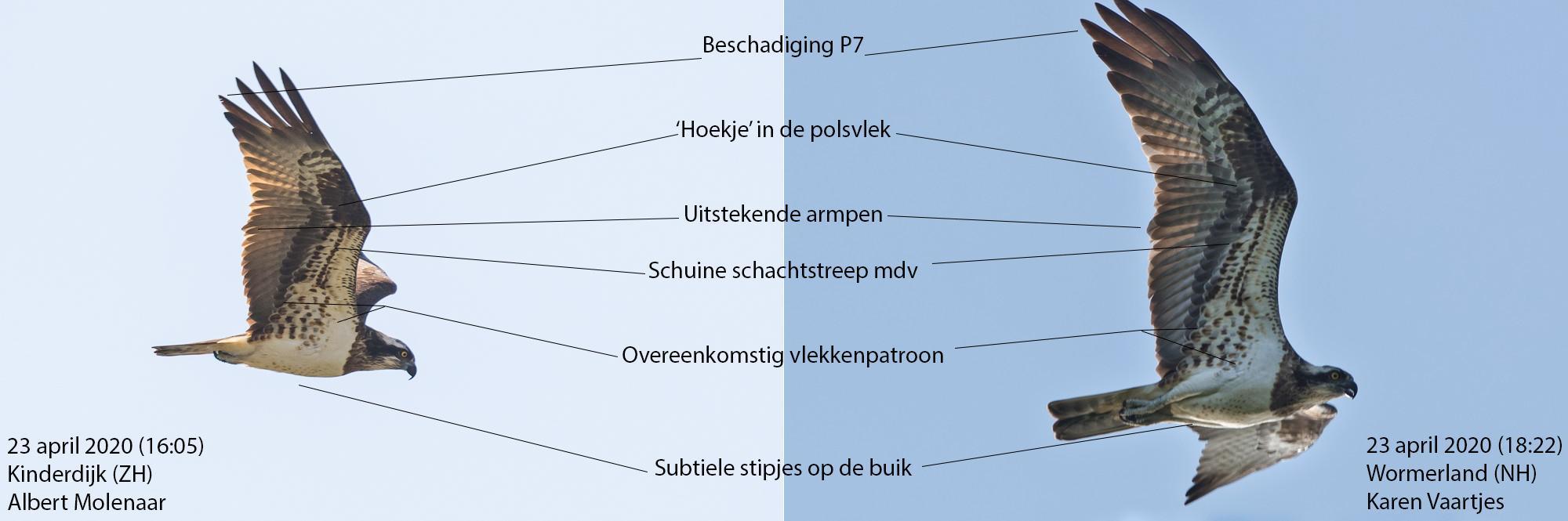 In Wijdewormer worden regelmatig bijzondere vogels gespot; Christian Brinkman (Radboud Universiteit) doet er onderzoek naar via waarnemning.nl