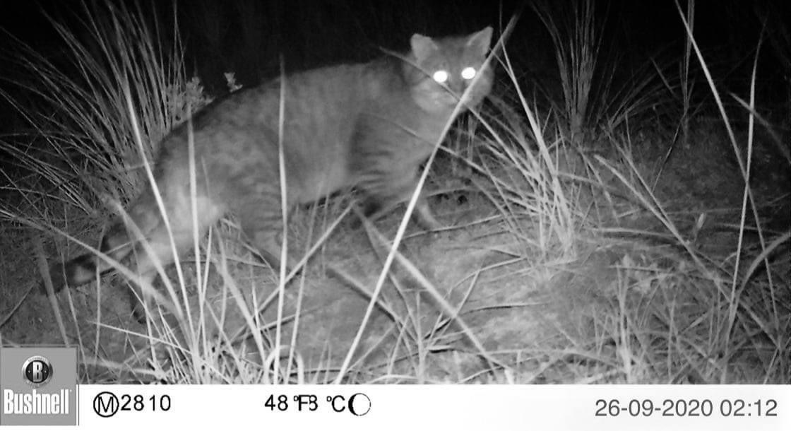 Wildcamera's voor verwilderde katten op Texel gestolen. Eerste vangactie start dit weekend
