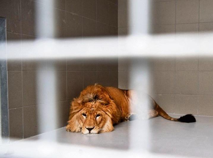 Titel 'Komkommerdier van 2019' voor geredde leeuw Simba [video]