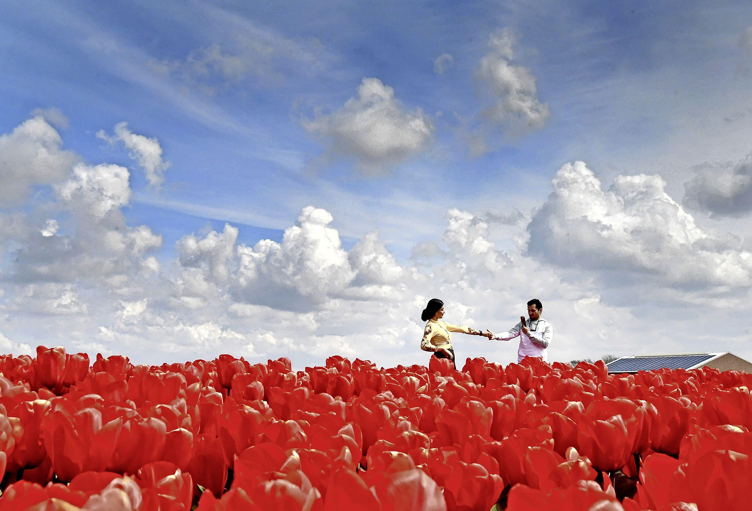 De romantiek spat ervan af. Rood tulpenveld is fabelachtig decor voor verliefd stel