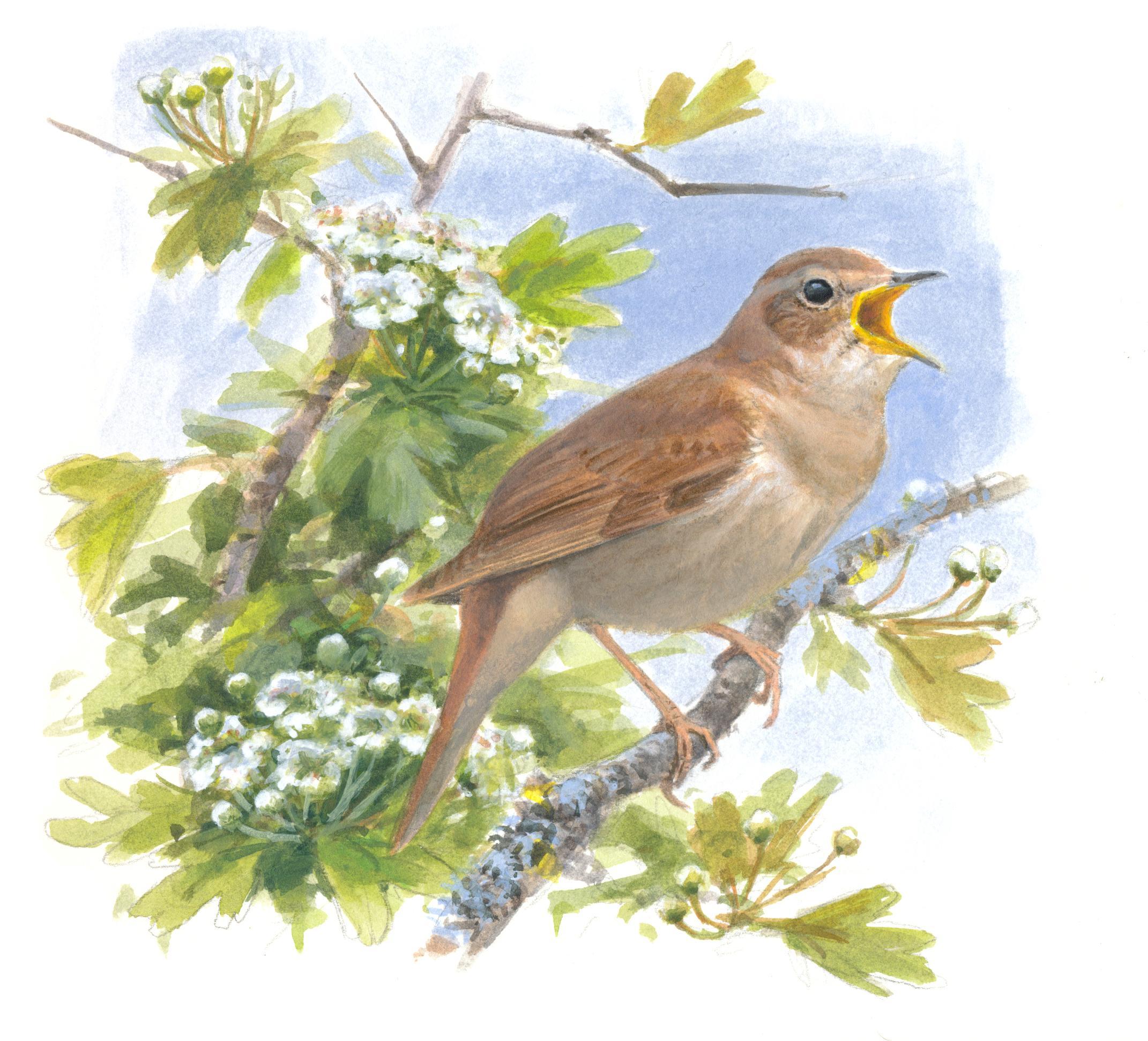 De nachtegaal, een onopvallende vogel, maar met onvoorstelbaar krachtige zang