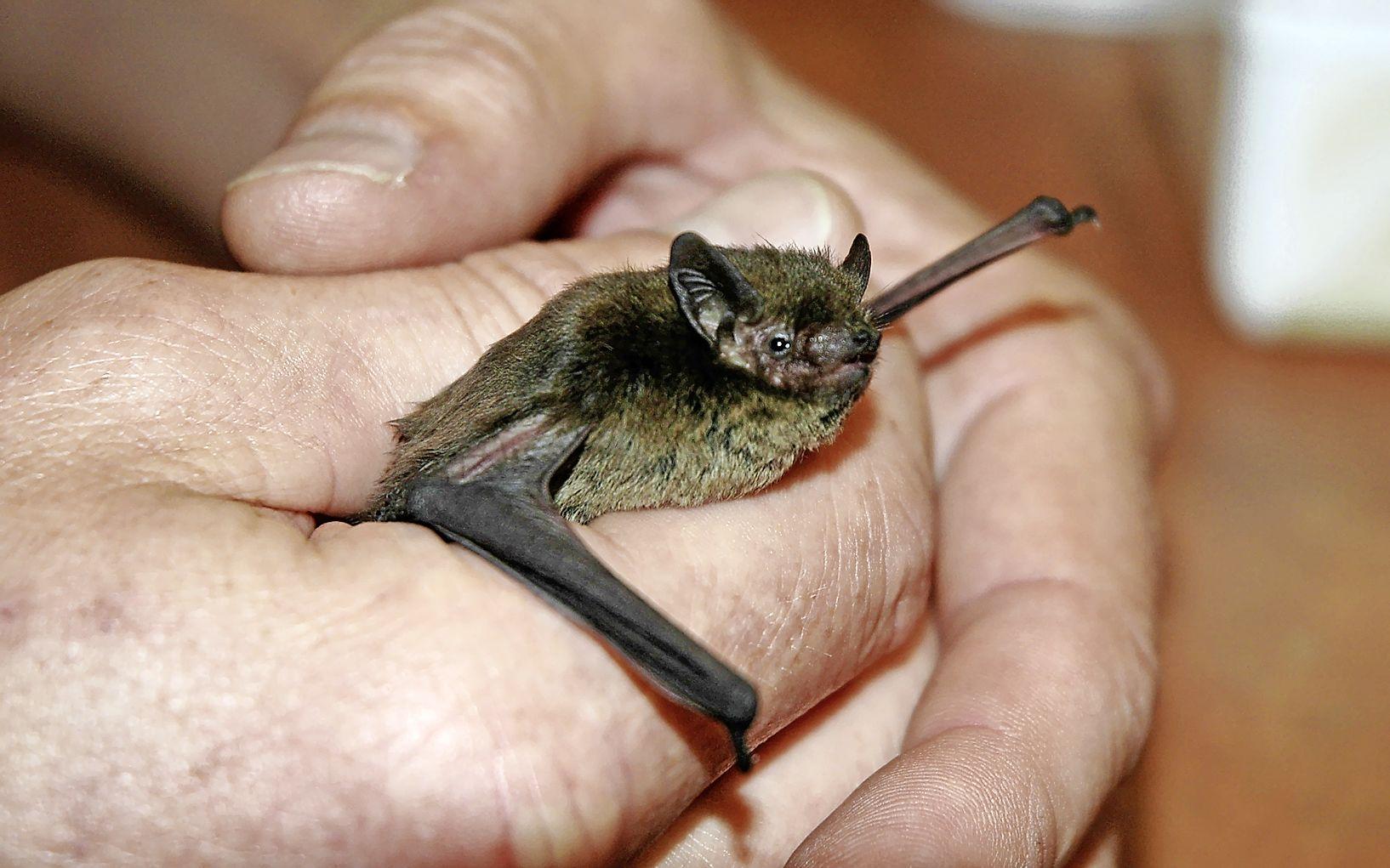 De vleermuizen vliegen 's nachts door de woonkamer bij Ecomare-medewerker Pierre Bonnet. 'Ze zijn heel slim'