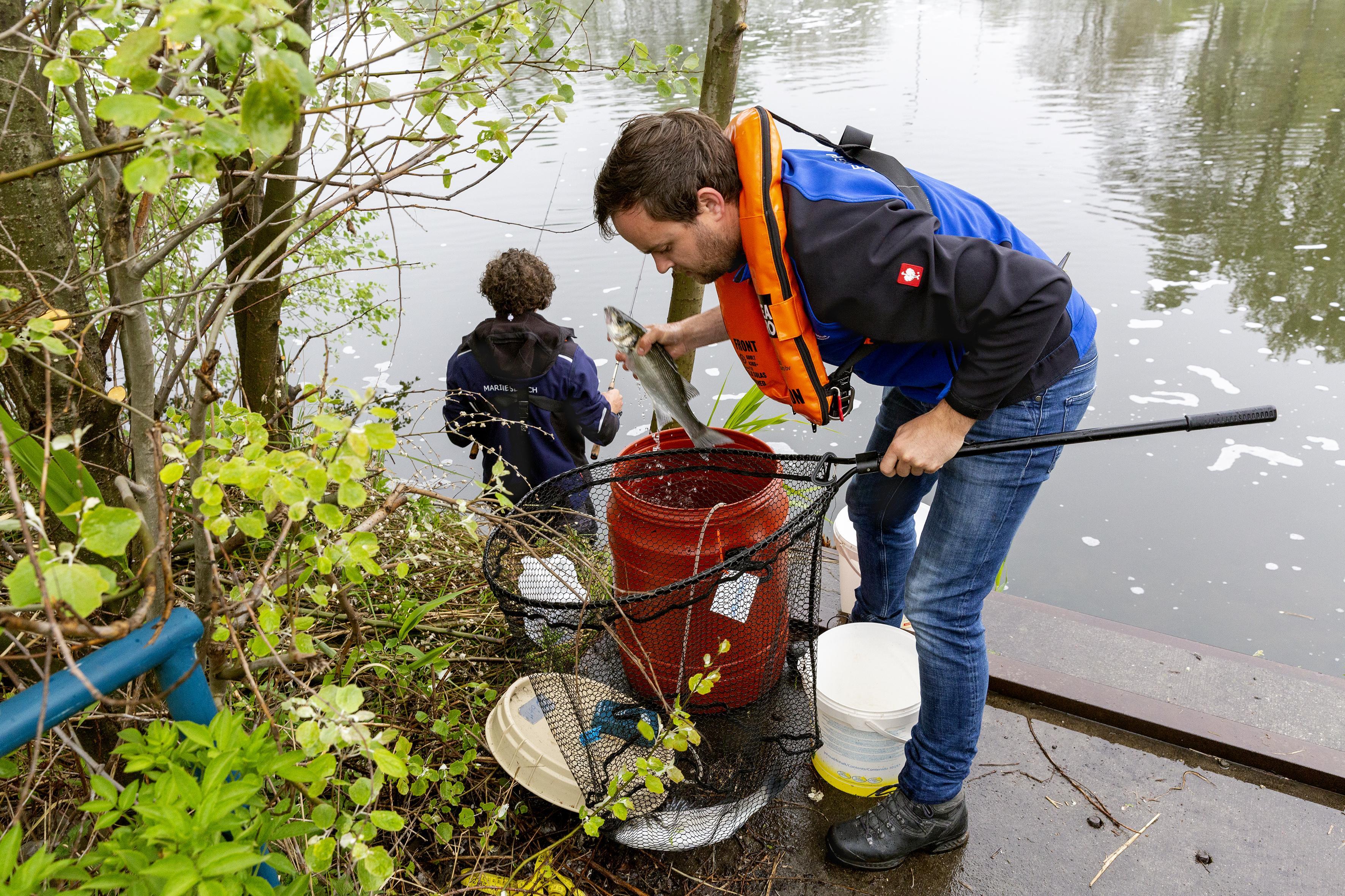 Bij Tata gevangen zeebaars dient voor onderzoek naar het gedrag van roofvissen bij de sluizen van IJmuiden