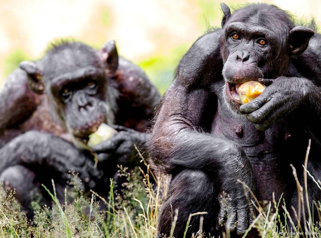 DierenPark Amersfoort schiet twee chimpansees dood na ontsnapping