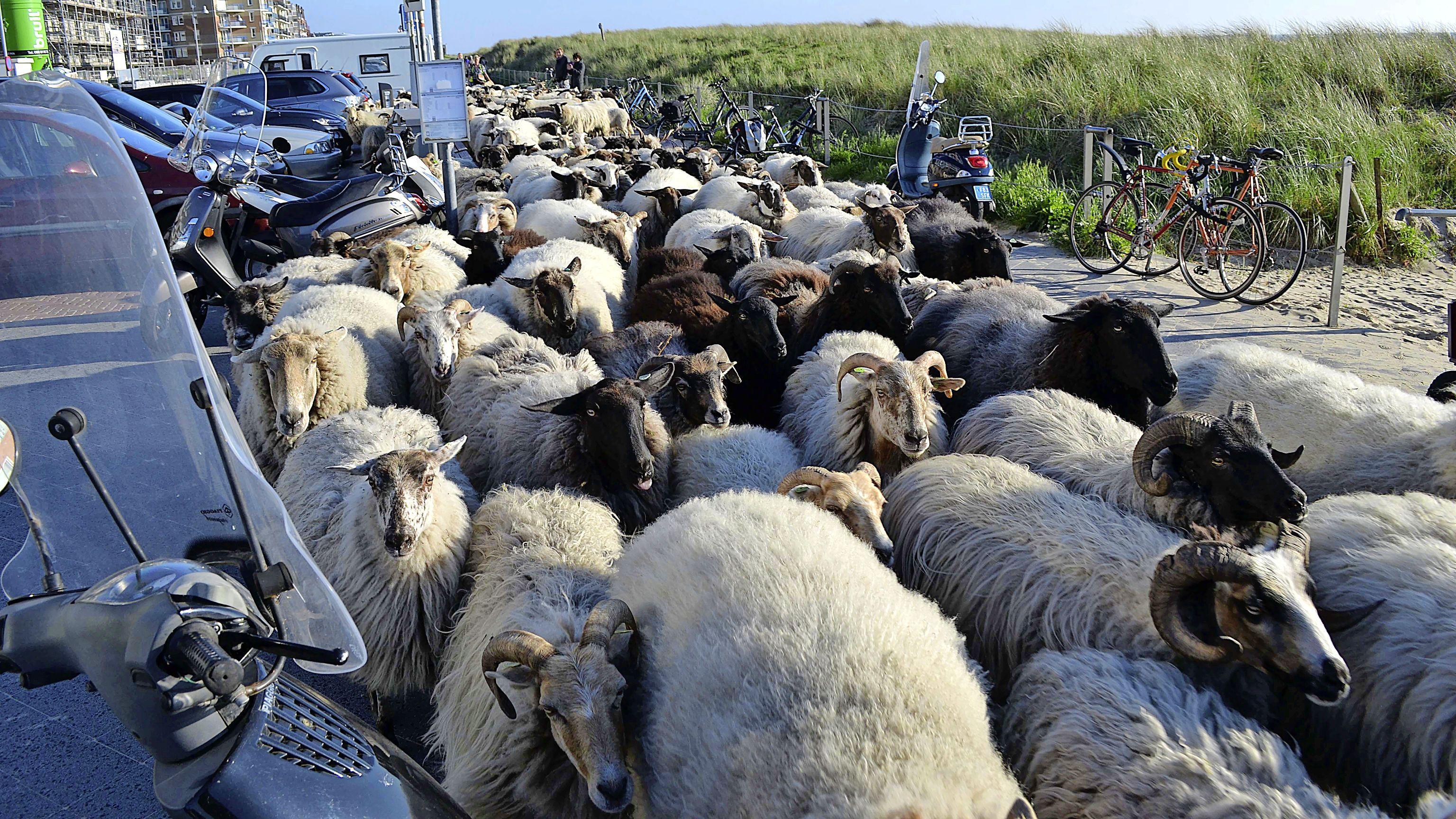 Kudde schapen struint over Egmondse Boulevard en zorgt voor verbaasde gezichten bij strandgangers