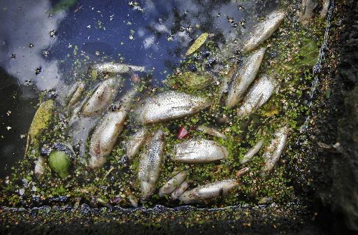 Alarm om plotselinge massale vissterfte in Noordzeekanaal: 'Dode karpers, snoekbaarzen en palingen van IJmuiden tot aan Zaandam'