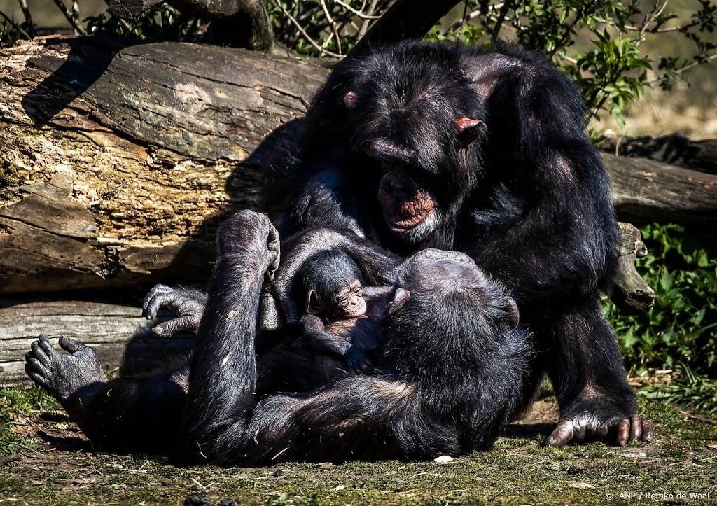 'Verdoven van chimpansees had te lang geduurd'