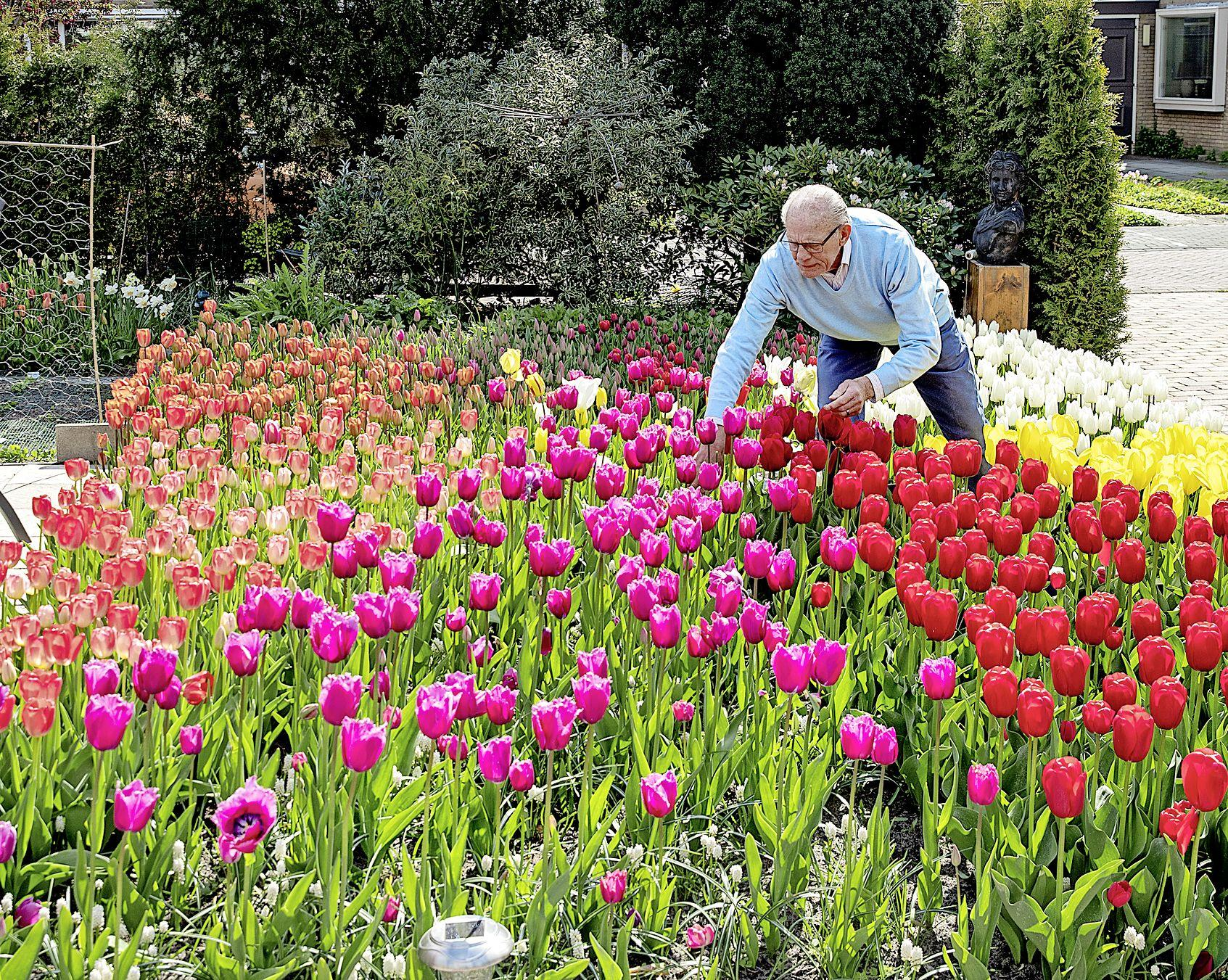 Duizenden tulpen in alle kleuren in tuin Sint Pancras. Co Ridder (83): 'Toen ik begon te spitten zei mijn vrouw dat ik niet goed wijs was'