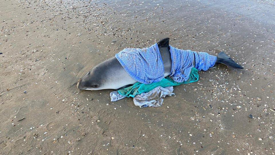 Bruinvis die zondag aanspoelde op strand Bloemendaal aangespoeld overleden [update]