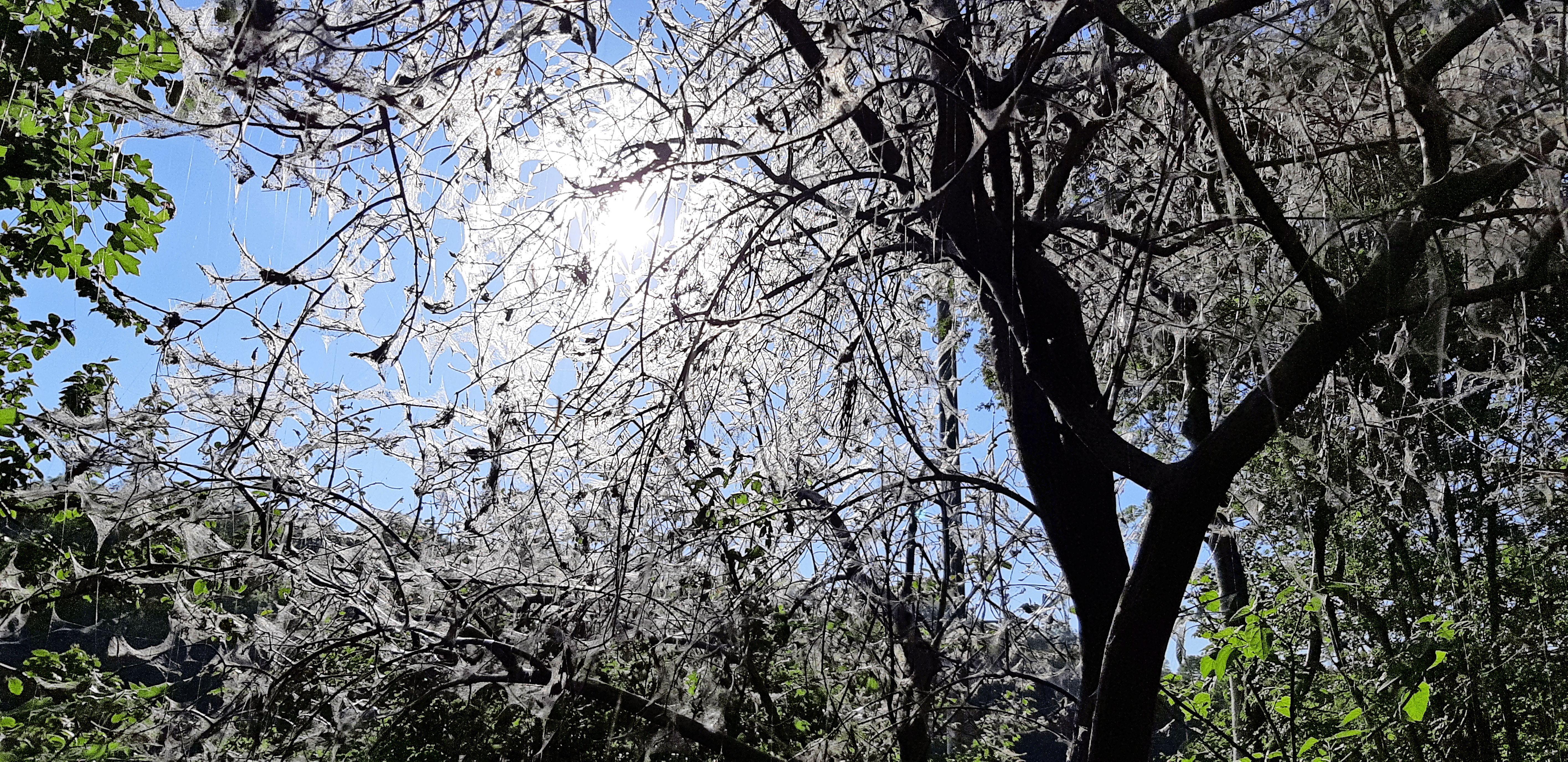 Er hangen hele slierten van webben over het fietspad en de bomen zien er 'spookachtig' uit. Allemaal de schuld van de rups van de spinselmot