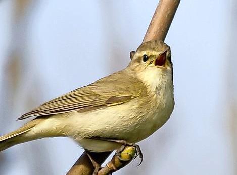 Vogels rondom vliegvelden doof en agressief, ontdekken Leidse onderzoekers
