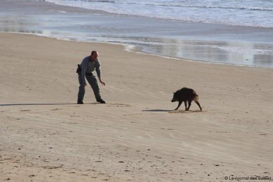 Zoektocht naar de herkomst van kadavers: in Frankrijk lopen er wél zwijnen op het strand [video]