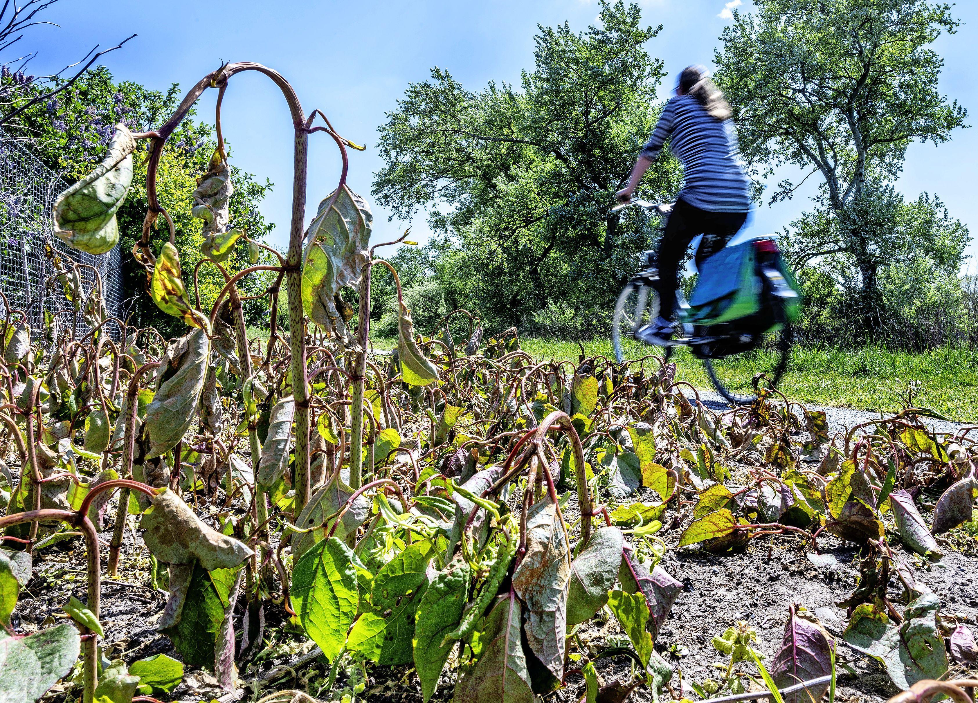 Hardnekkige Japanse duizendknoop woekert voort in de Noordkop. 'Plaagplant nummer één' bestreden met stroom, kokend water en Roundup