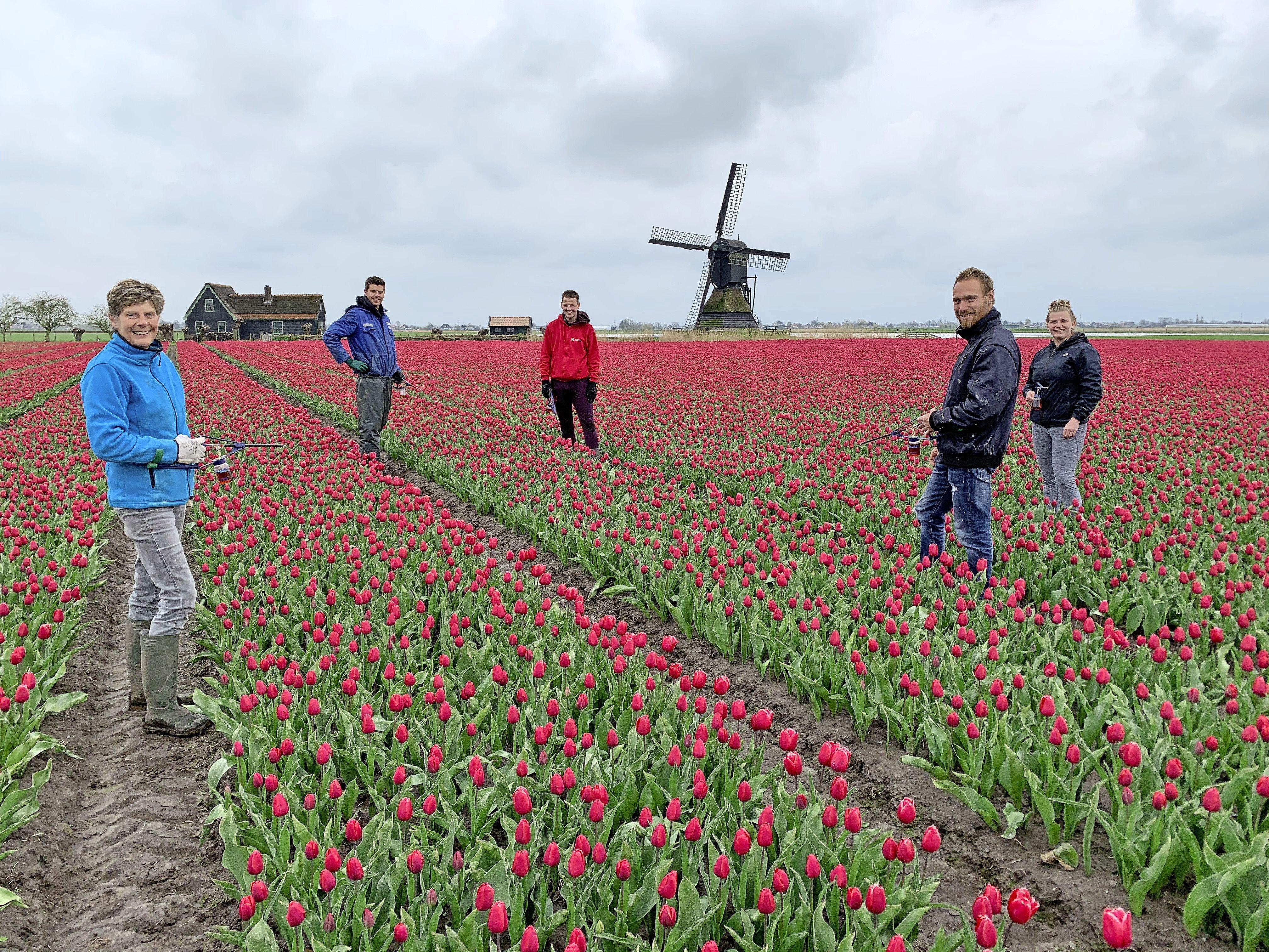 Rode tulpen met molen op de achtergrond. Hoe Hollands wil je het hebben? Voorbijgangers stoppen voor een foto