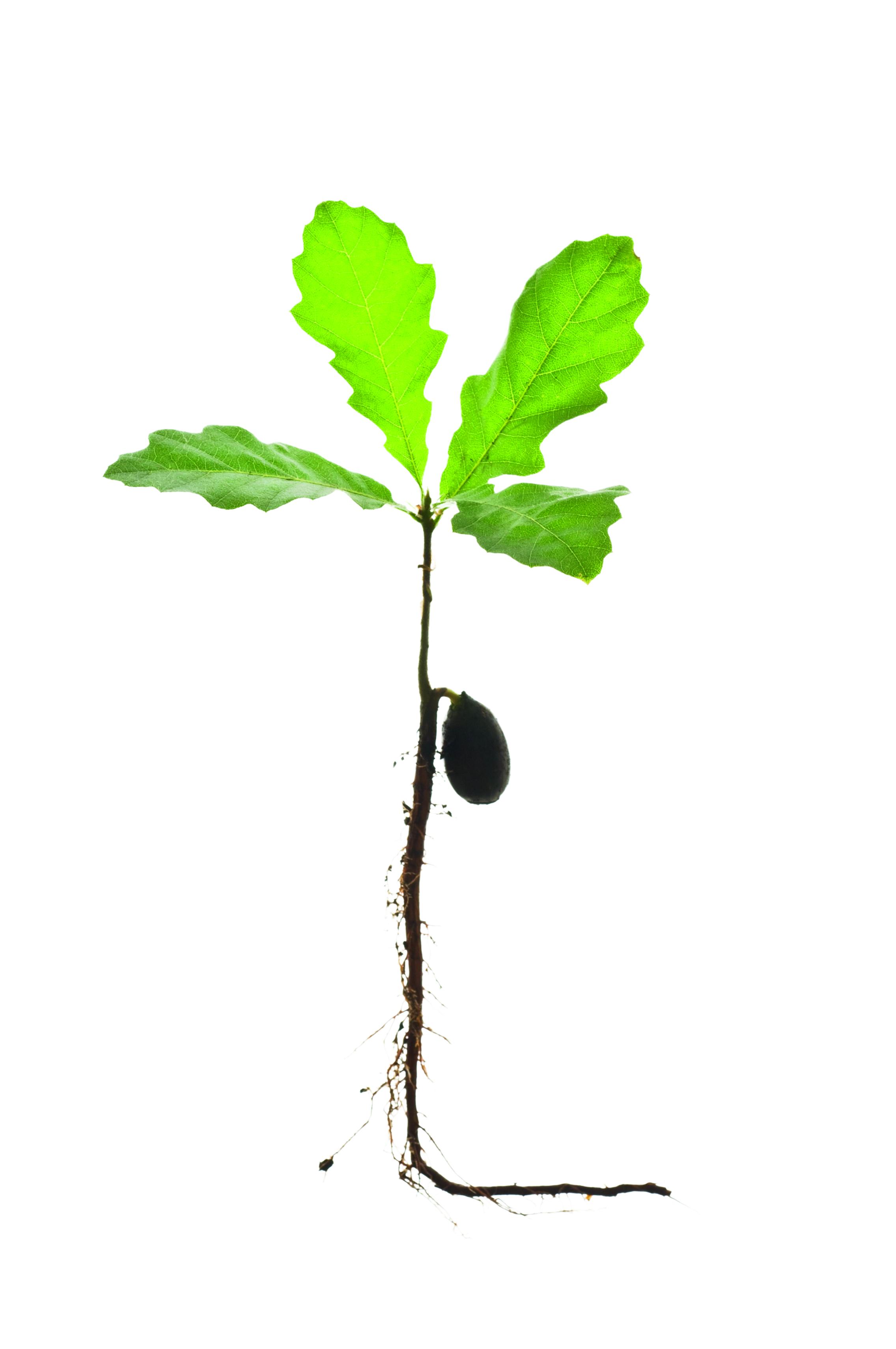 Geef zaailingen uit je tuin de kans een volwaardige boom te worden