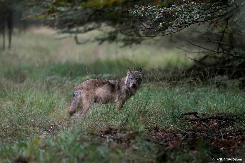 Wolf duikt op in Friesland