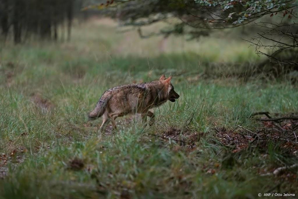 Beelden tonen florerende wolvenfamilie op de Veluwe