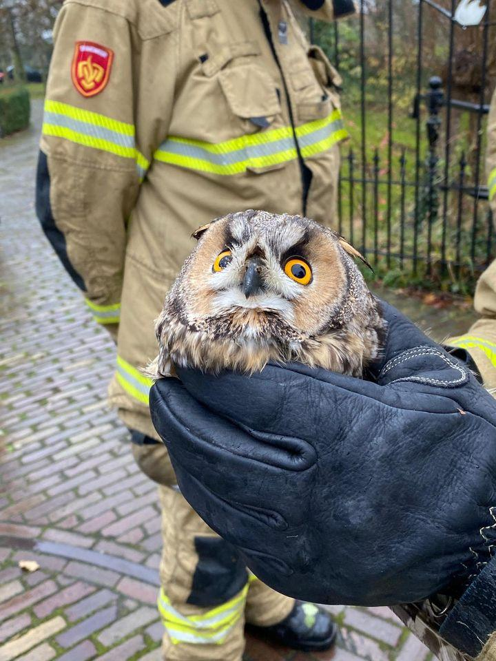 Oeh! Dankzij de Wognumse brandweer kan verstrikte ransuil weer achter de muizen aan